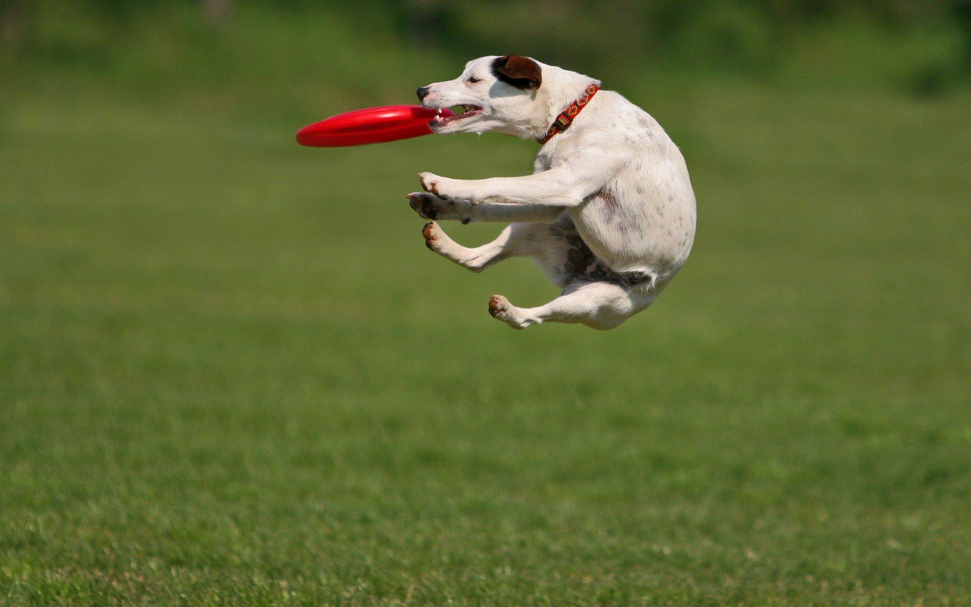 animals, Grass, Dogs, Frisbee Wallpapers HD / Desktop and Mobile
