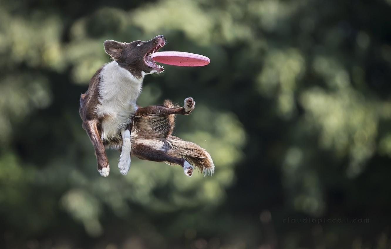 Wallpapers jump, the game, dog, dog, disk, catches, Border Collie