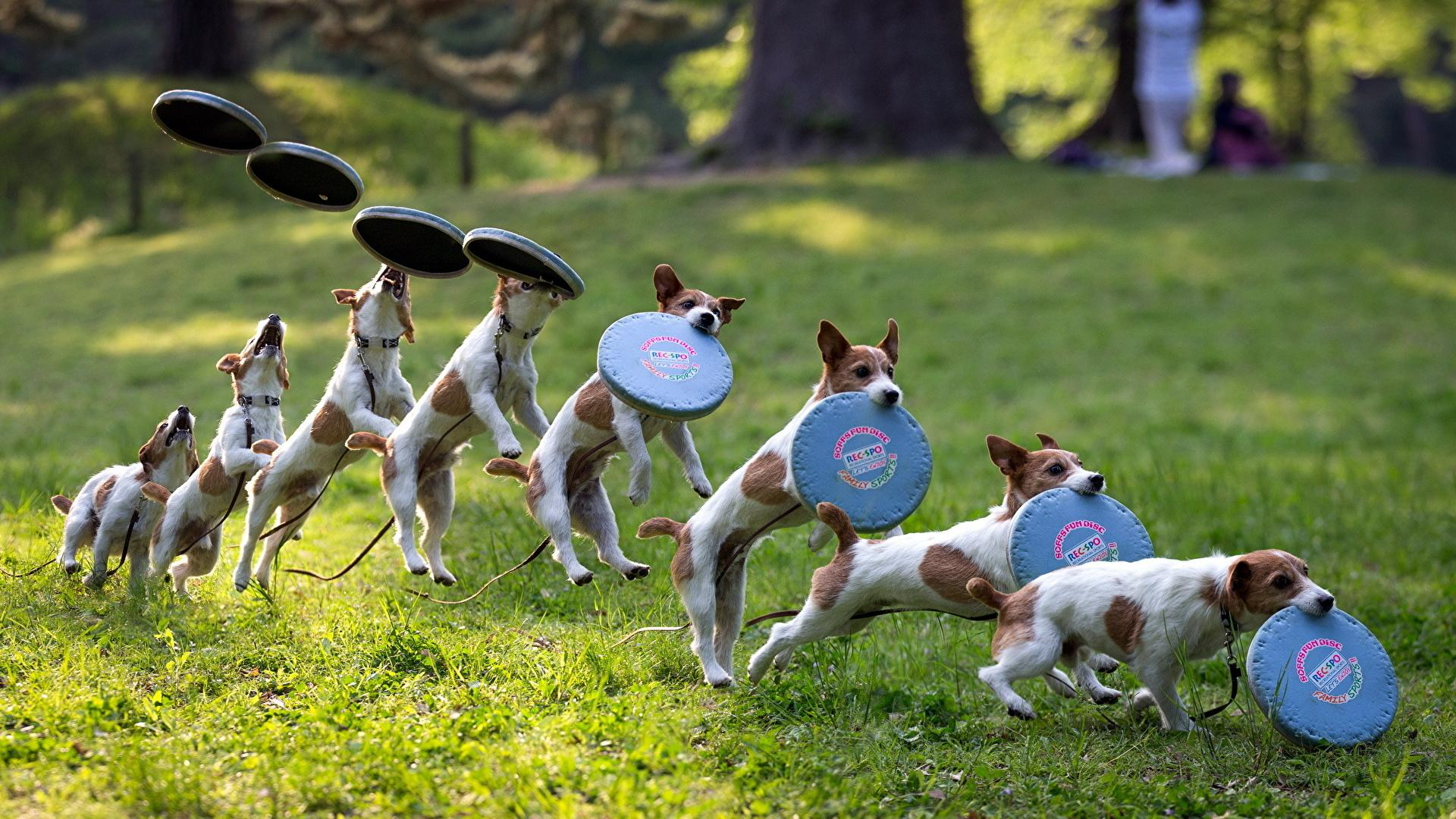Photo Dogs Frisbee Grass Animals 1920x1080