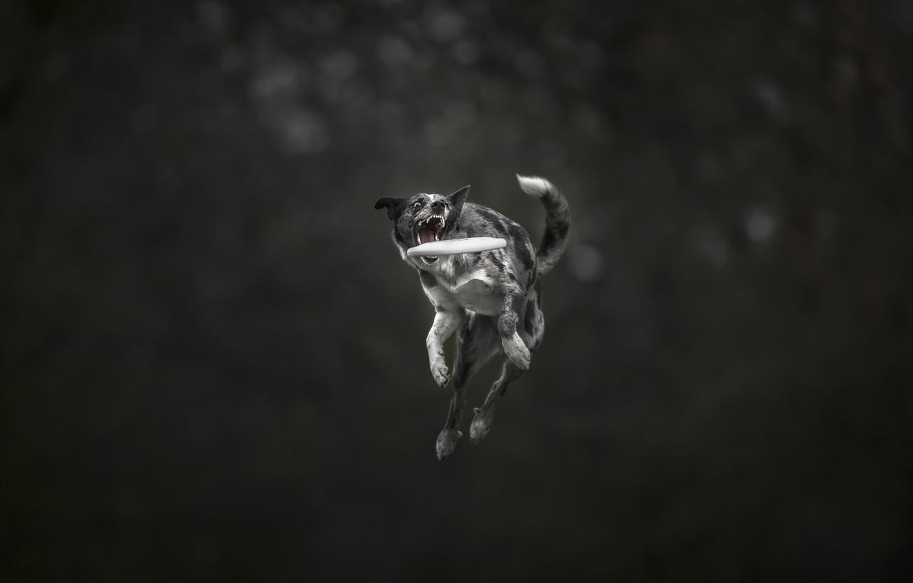 Wallpapers jump, teeth, Dog, the border collie, Frisbee, frisbee