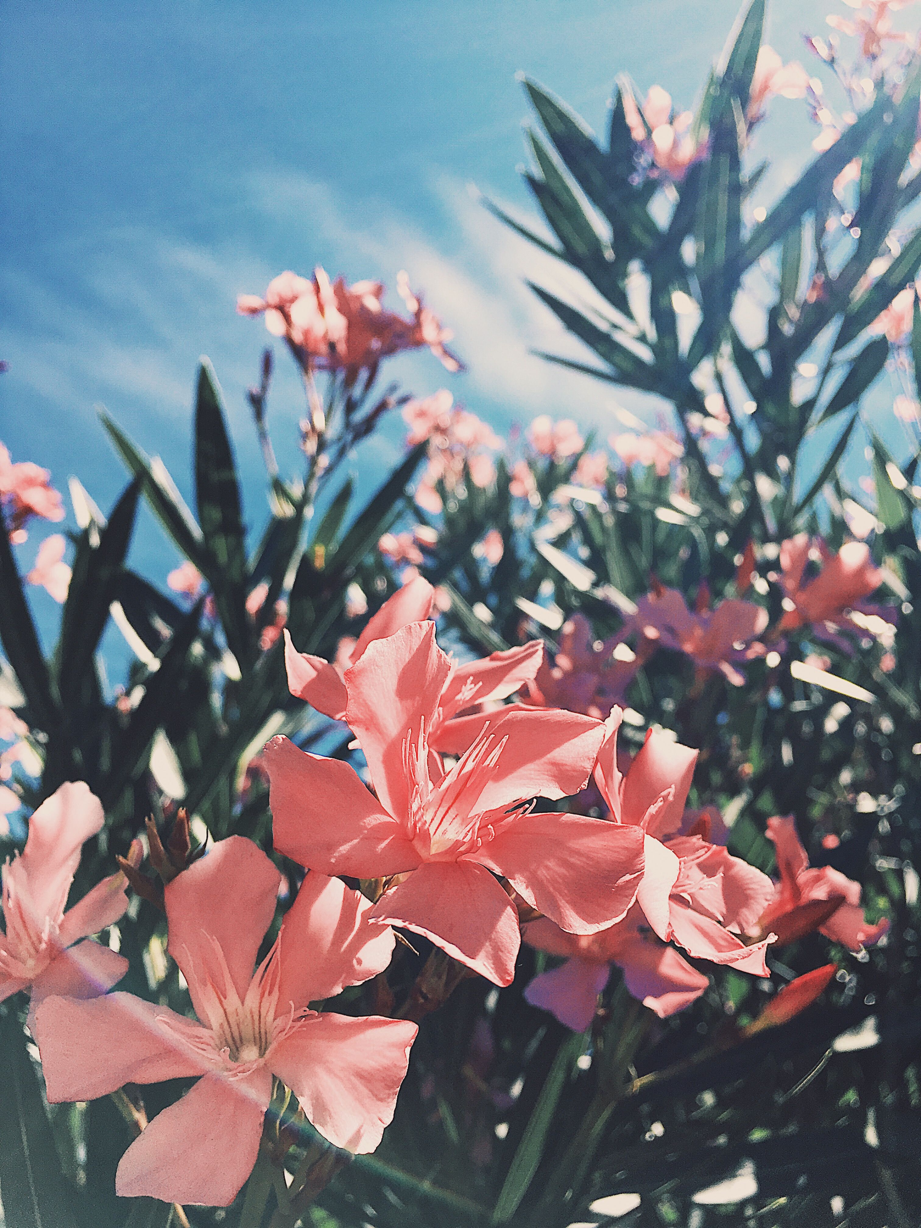 peachy pink flowers with the backgrounds of cloudy blue skies. an
