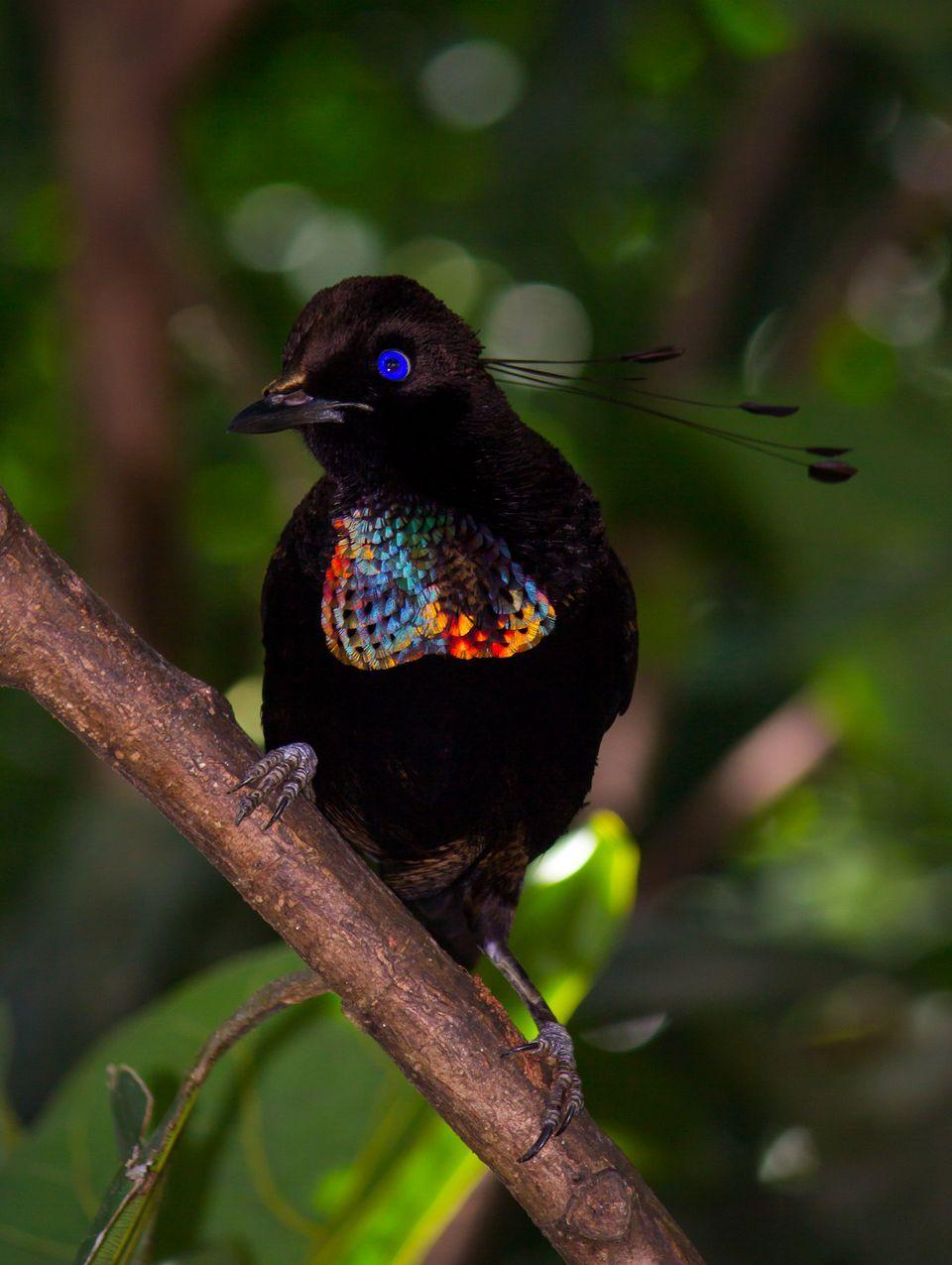 Birds of paradise hd