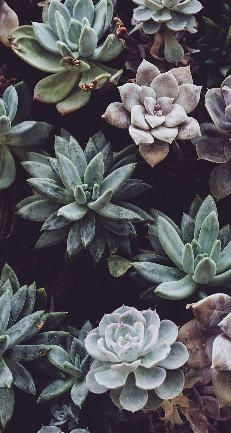 Succulent wallpapers