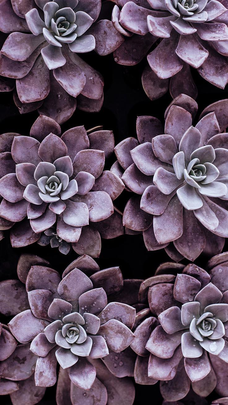 Pink Succulent Phone Wallpapers Wallpaper Cave