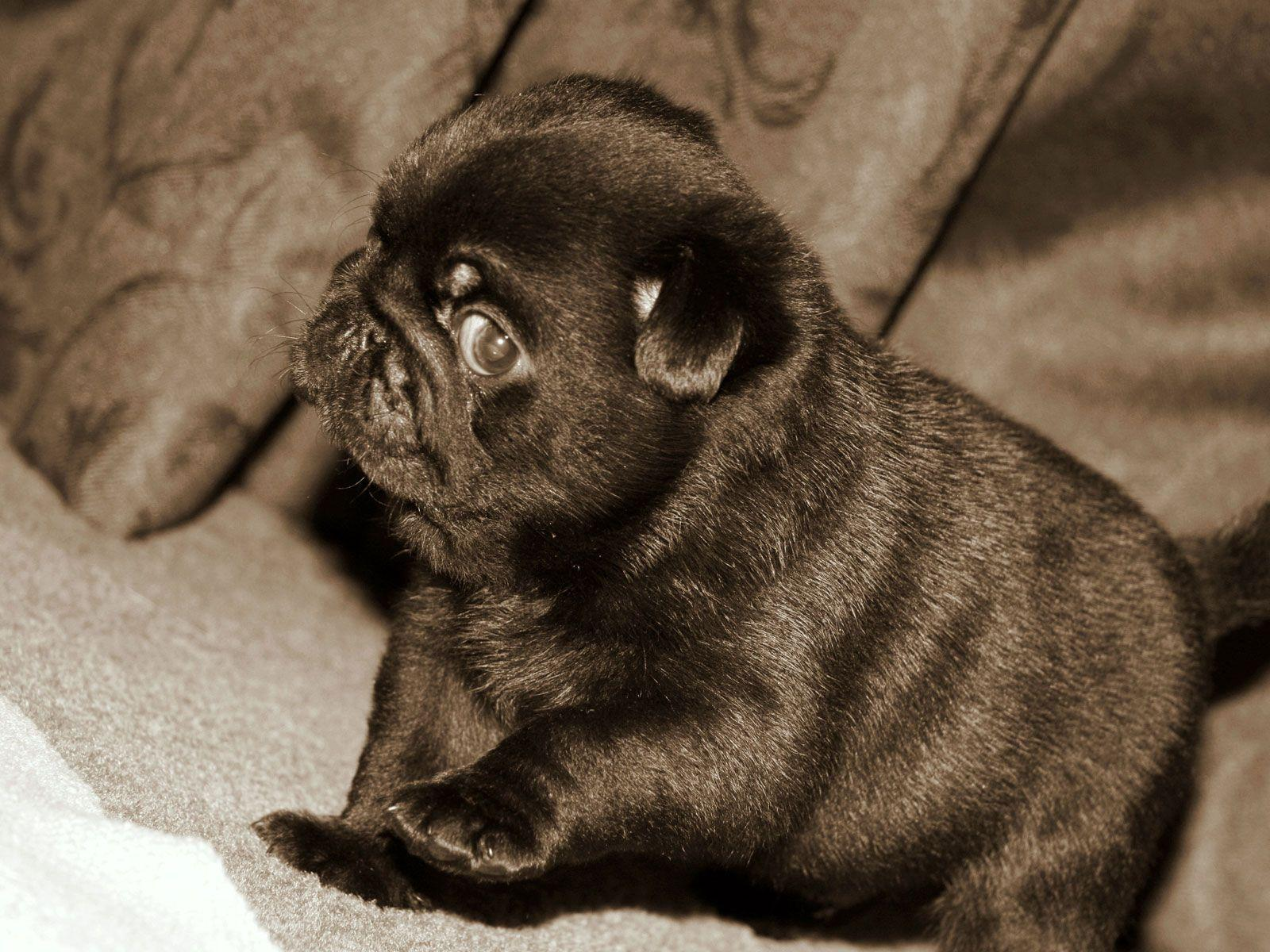 Brown And Black Pugs Wallpapers Wallpaper Cave