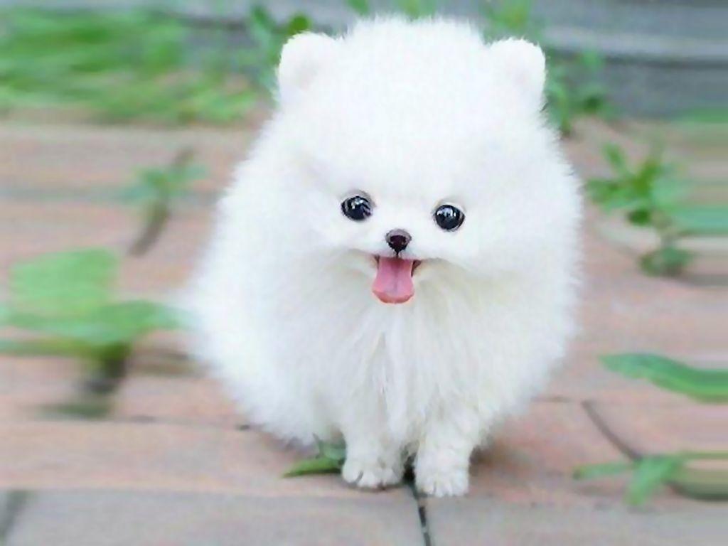 Cute White Fluffy Puppies For Sale Goldenacresdogs Com