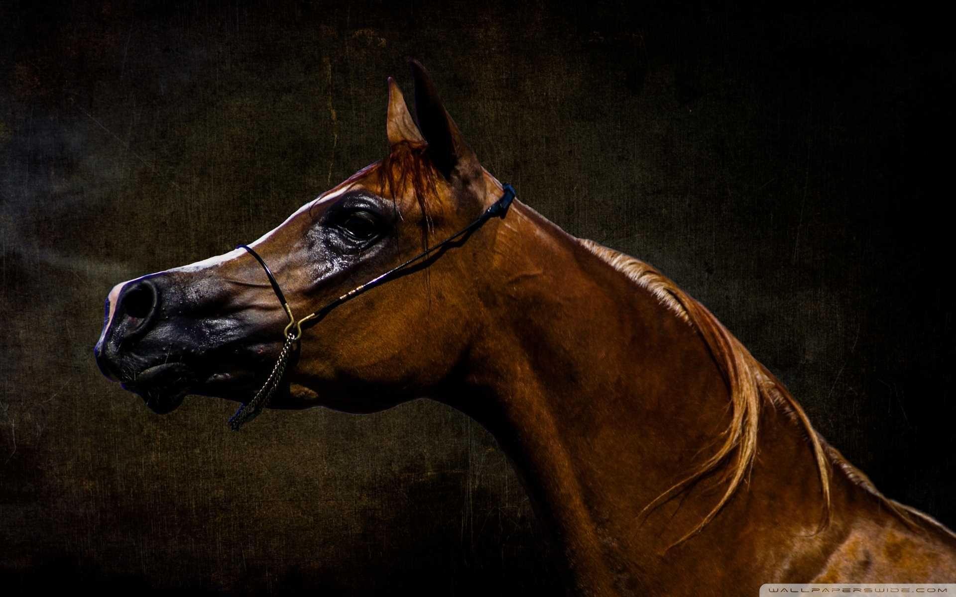 Brown Arabian Horse Wallpapers Wallpaper Cave