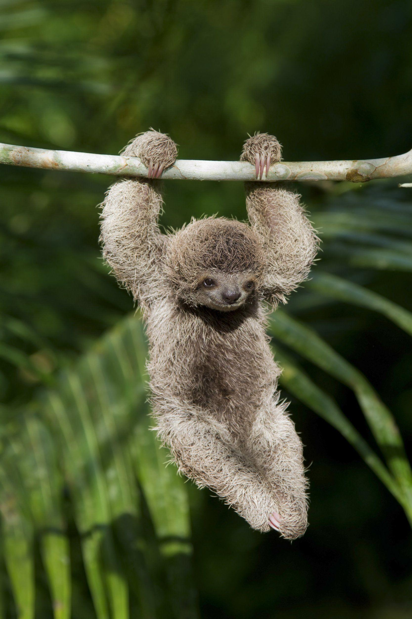Baby Sloth Wallpapers Wallpaper Cave