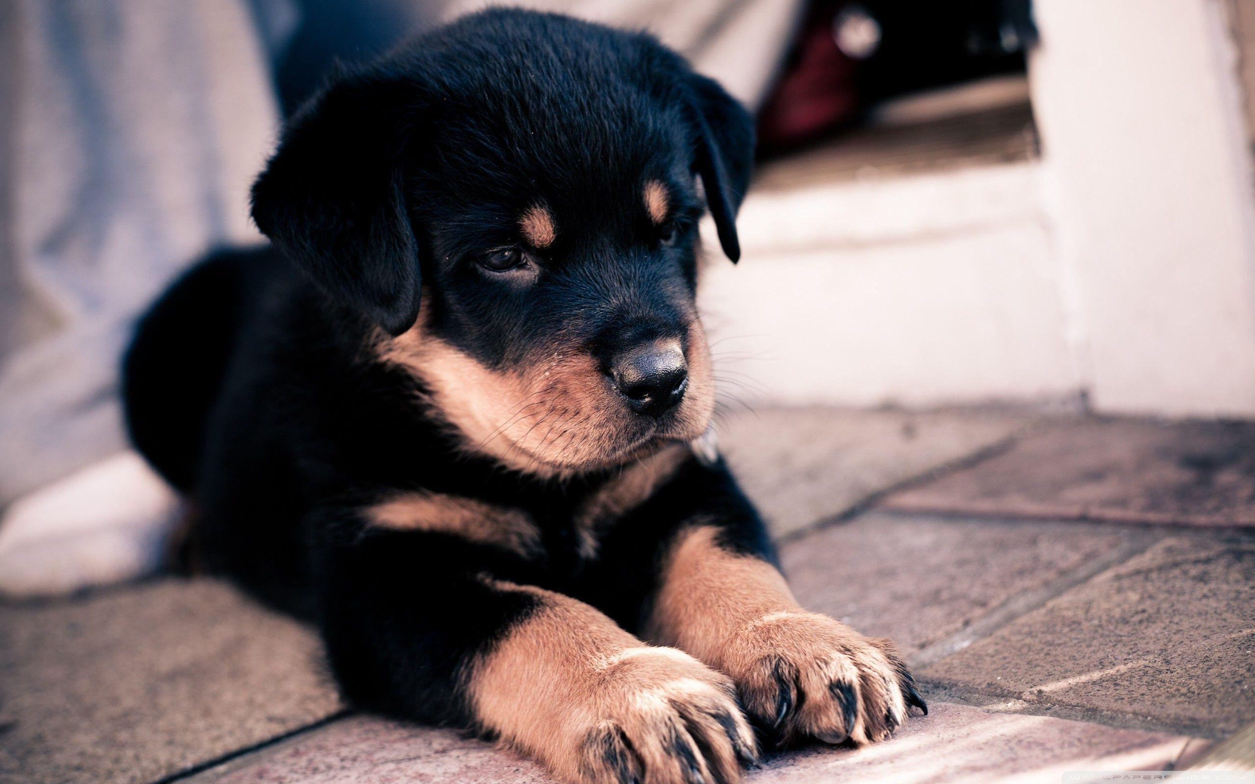 Cute Rottweiler Puppy HD desktop wallpapers : High Definition