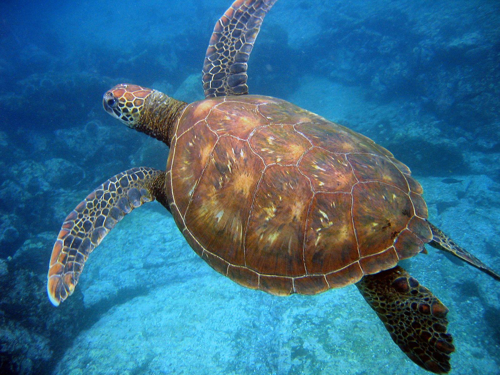 фото плывущая черепаха недостатка света