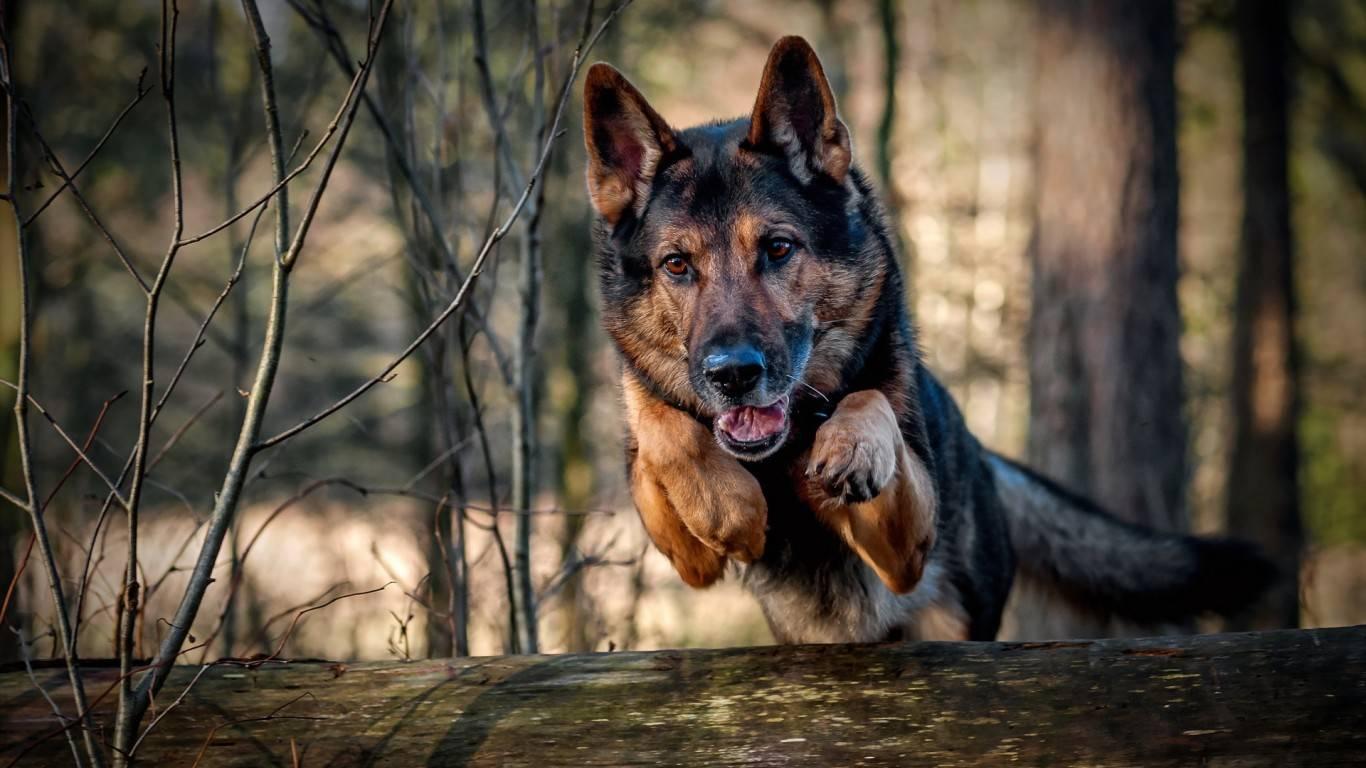 German Shepherd Dog Wallpapers Wallpaper Cave