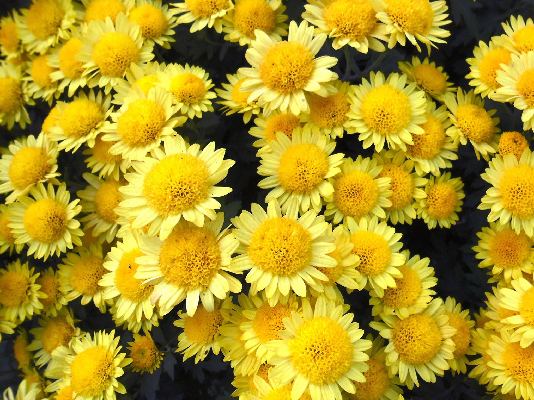 Wallpapers Yellow Mums Flowers Closeup 2048x1536