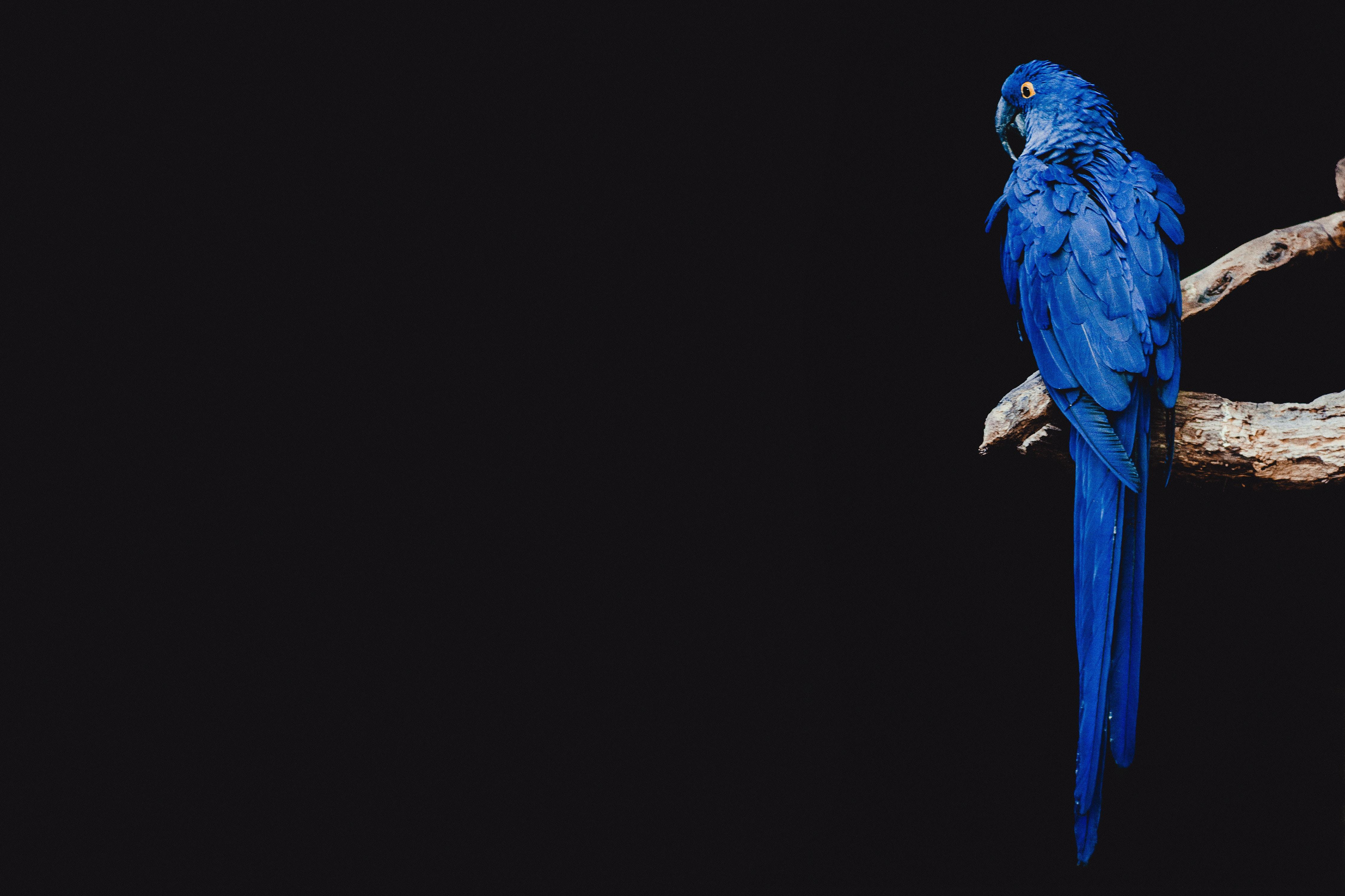 Download wallpapers 4500x3000 parrot, bird, branch hd backgrounds