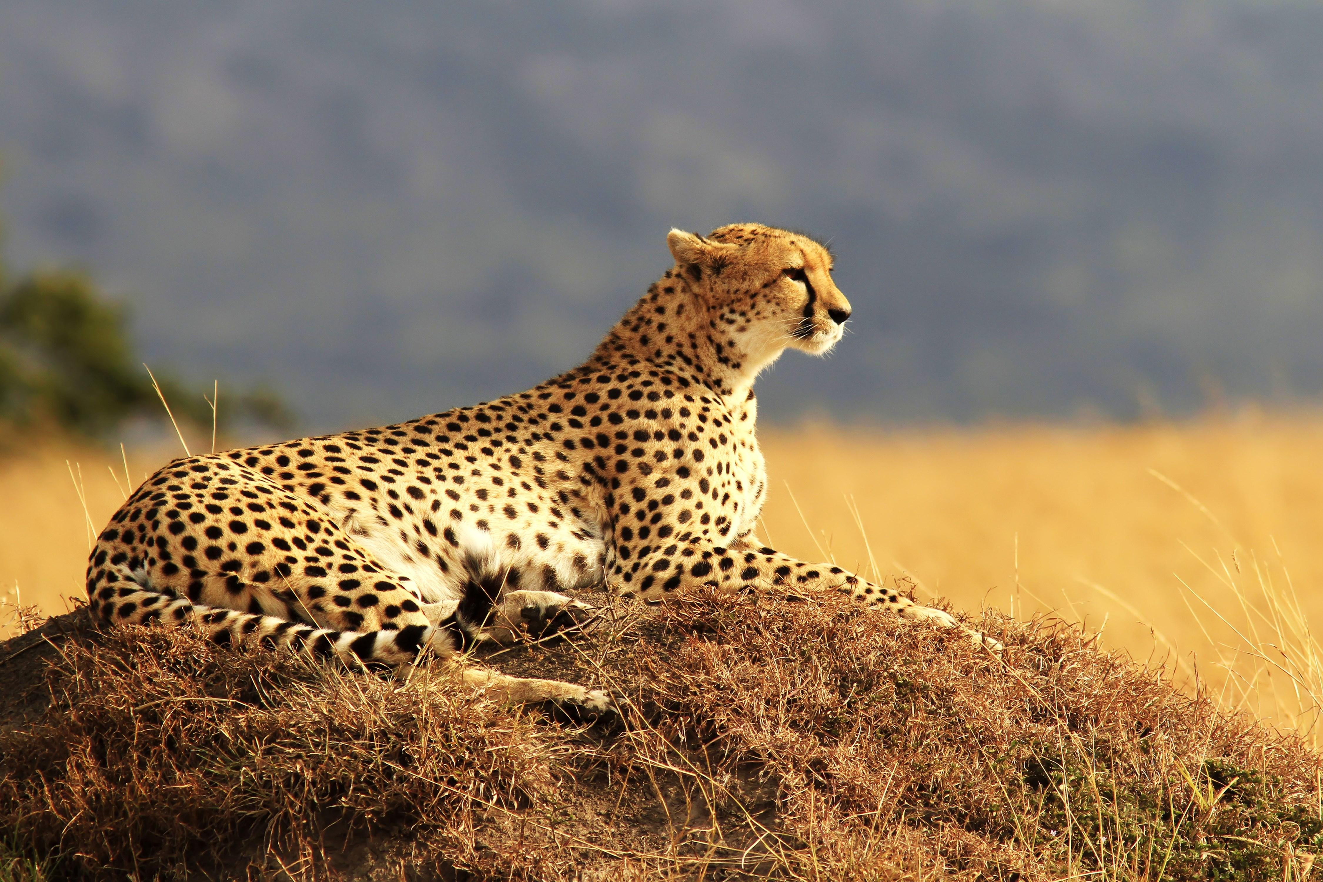 1462489 4500x3000 free screensaver wallpapers for cheetah