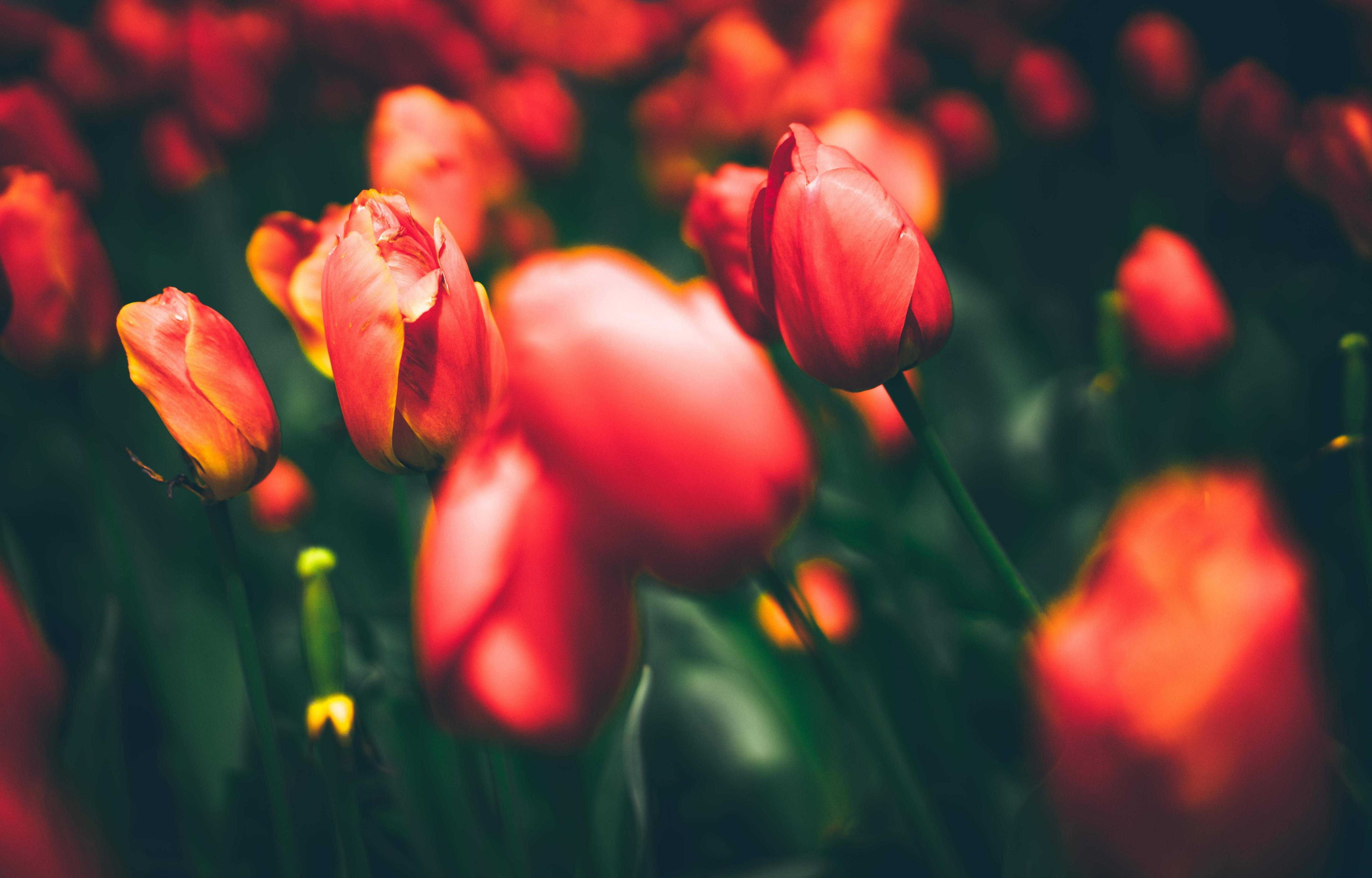 Free Tulip high quality wallpapers ID:157829 for hd 6400x4096 desktop