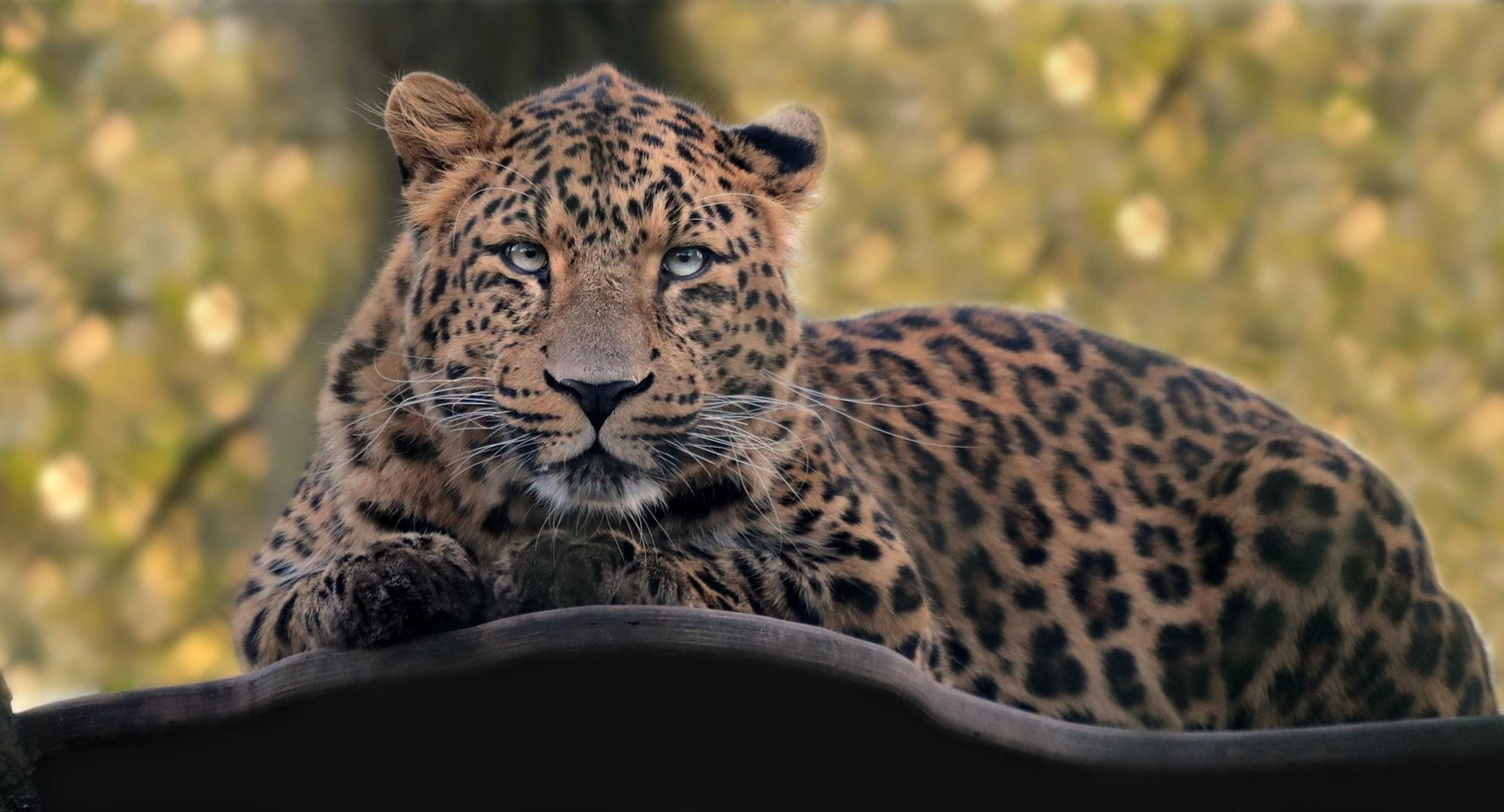 Leopard HD Wallpapers