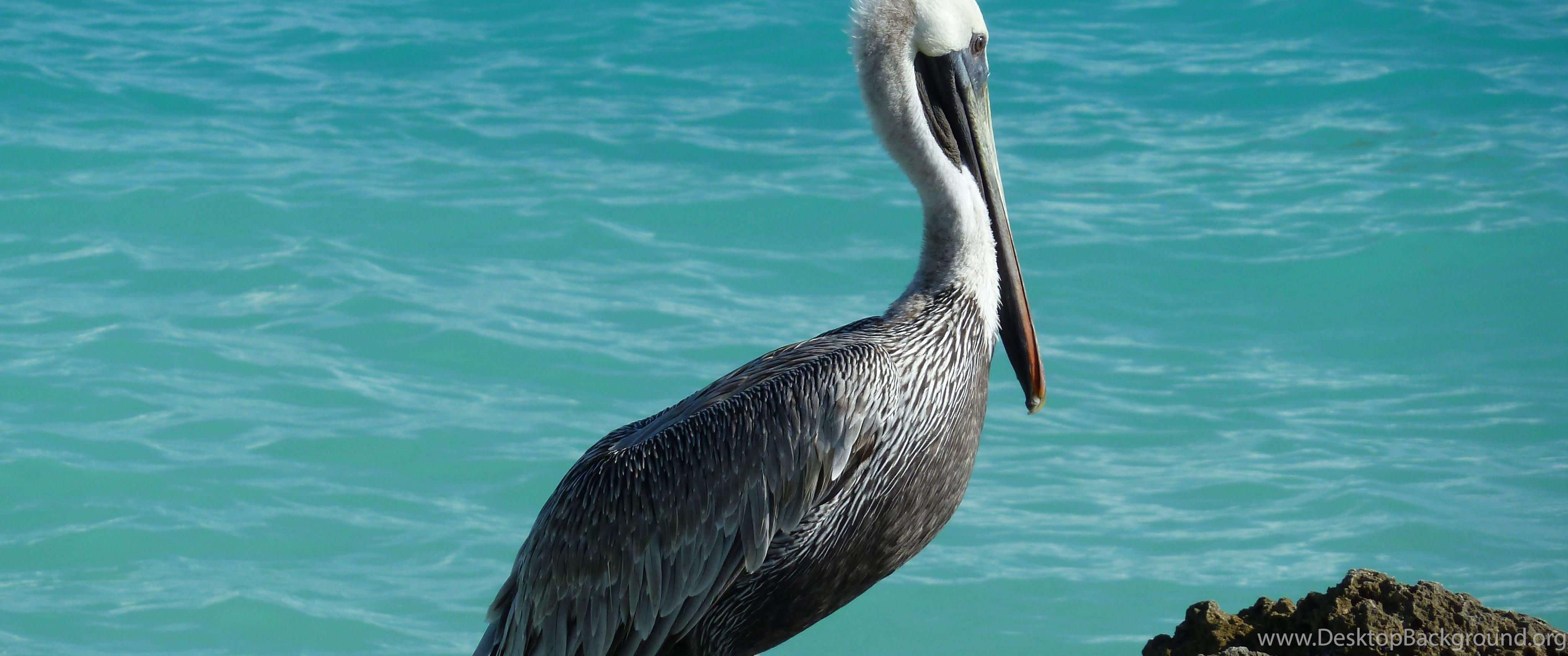 Pelican Desktop HD Wallpapers HD Wallpaper Backgrounds Of Your