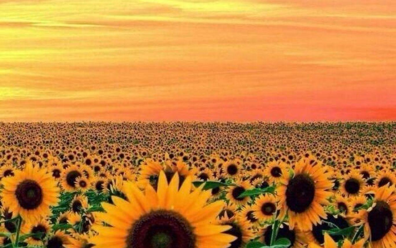 Wallpapers Sunflower Yellow Tumblr Aesthetic Pictures2