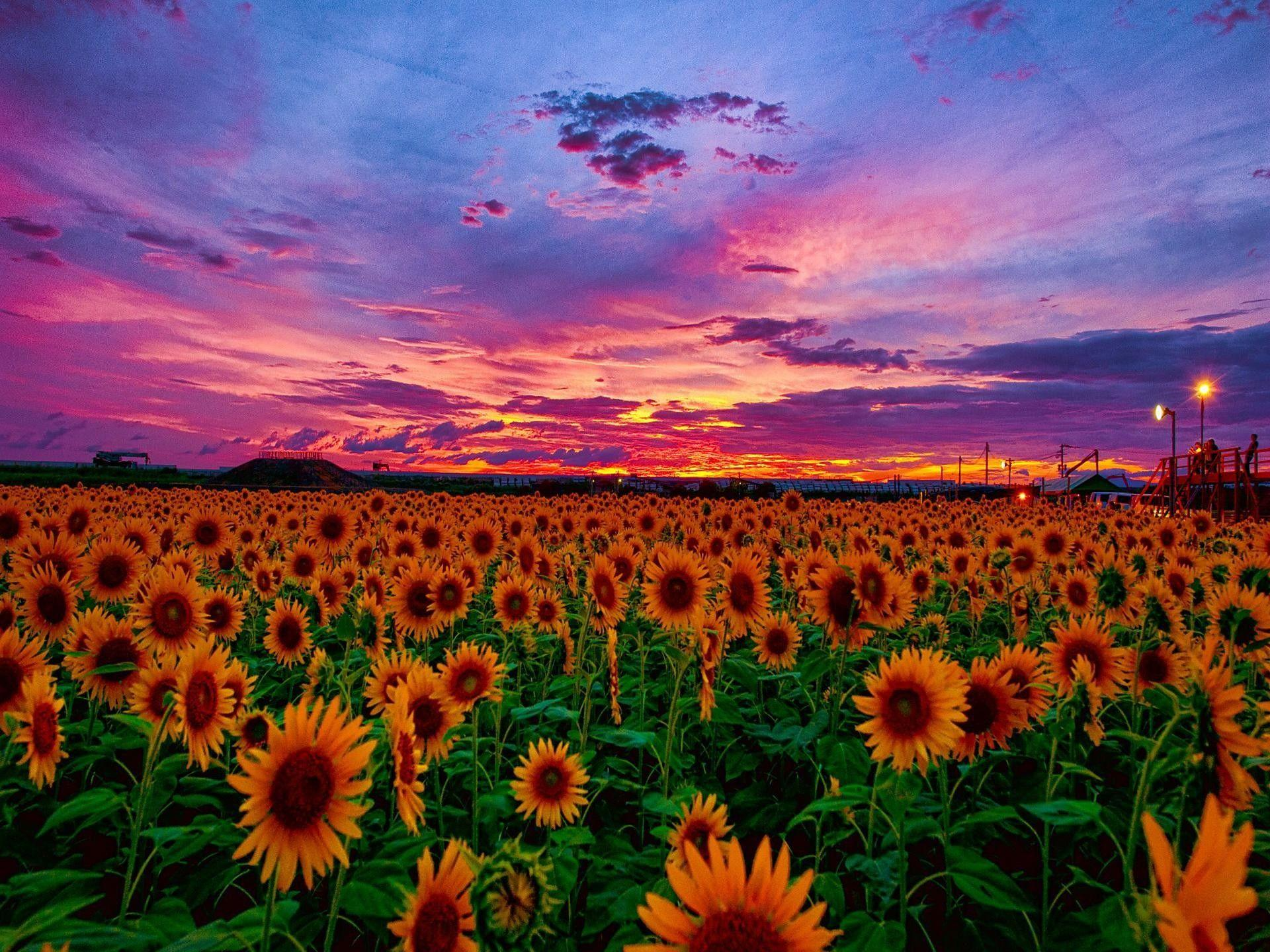 Sunflowers At Sunset Wallpapers Wallpaper Cave