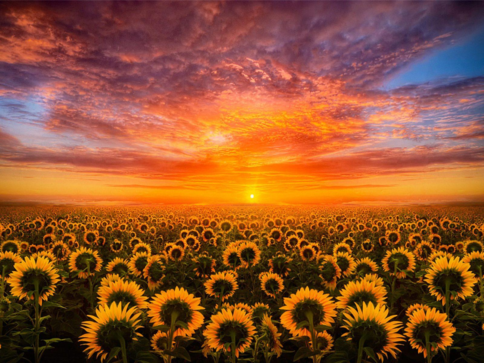 Sunflowers At Sunset Wallpapers - Wallpaper Cave