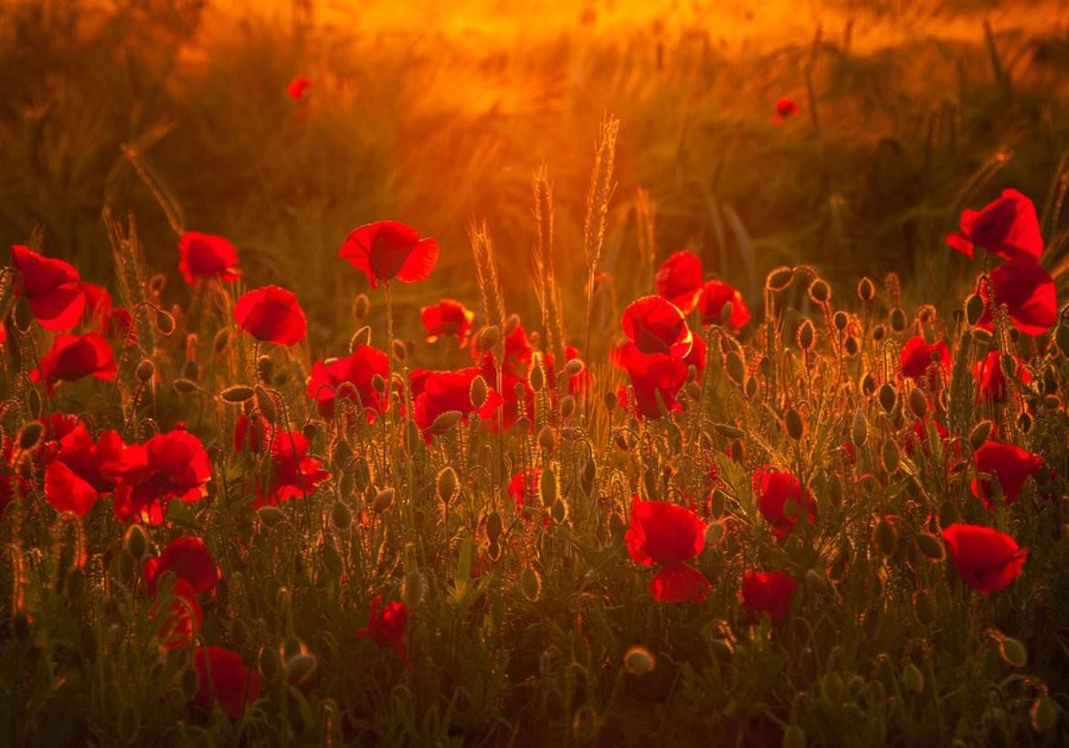 Poppy Fields At Sunset Wallpapers - Wallpaper Cave