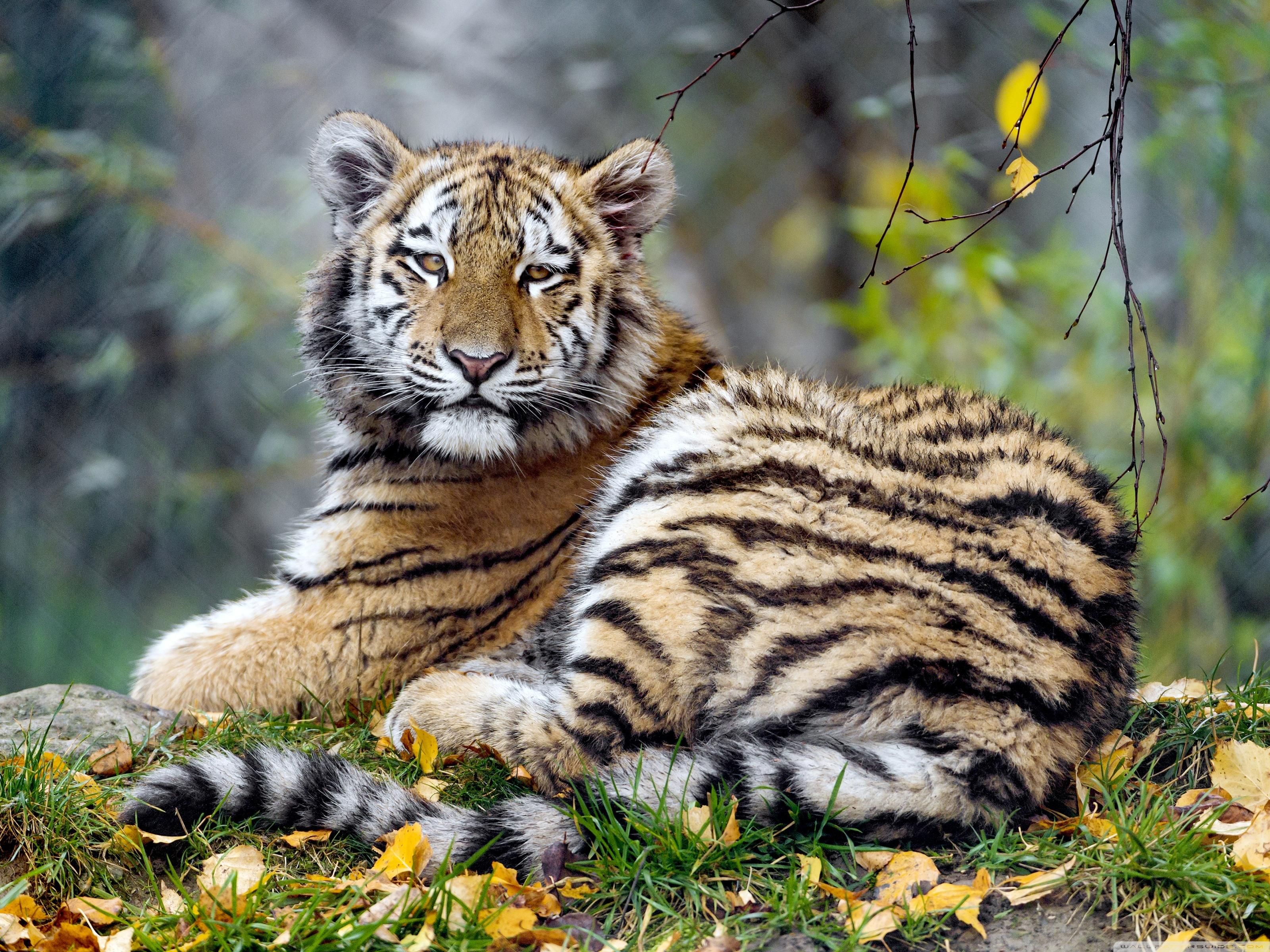 Young Tiger Animal Wallpapers Wallpaper Cave