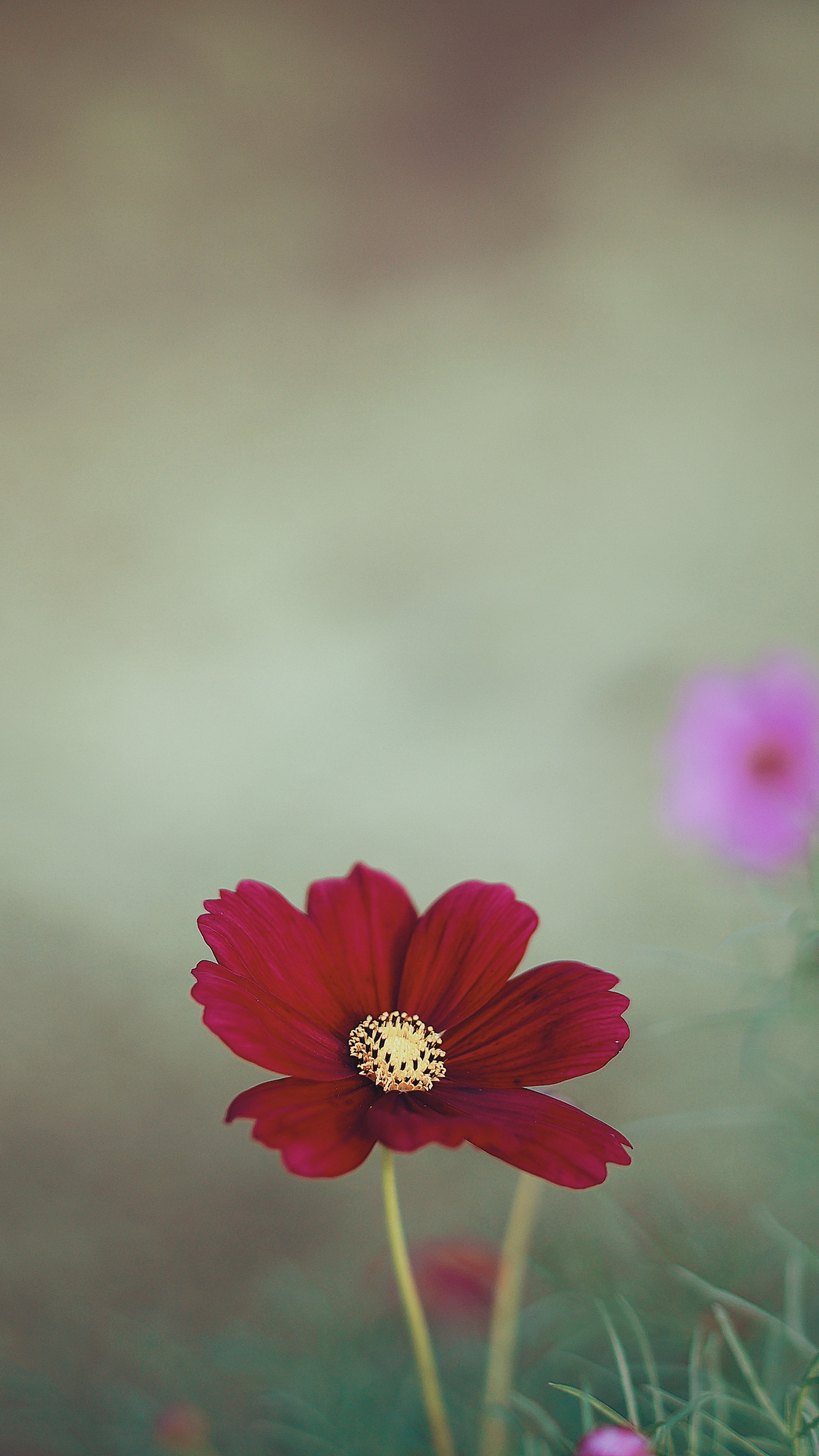 Cosmos Flowers Wallpapers Wallpaper Cave