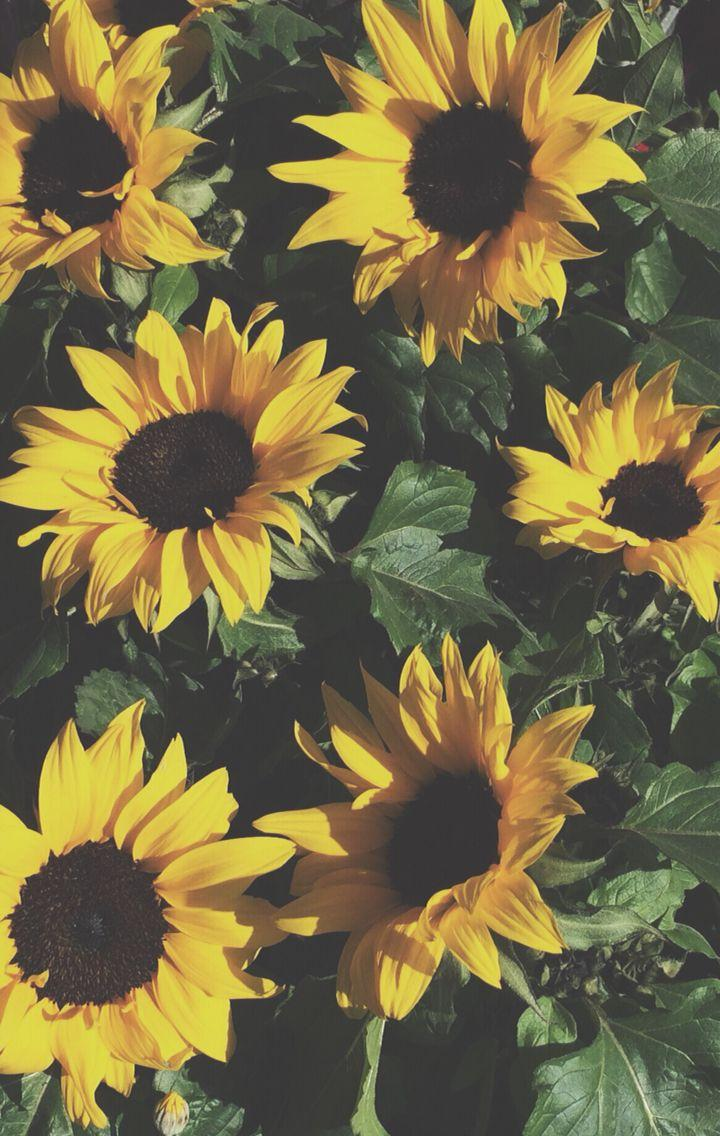 Sunflower Iphone Wallpapers Wallpaper Cave