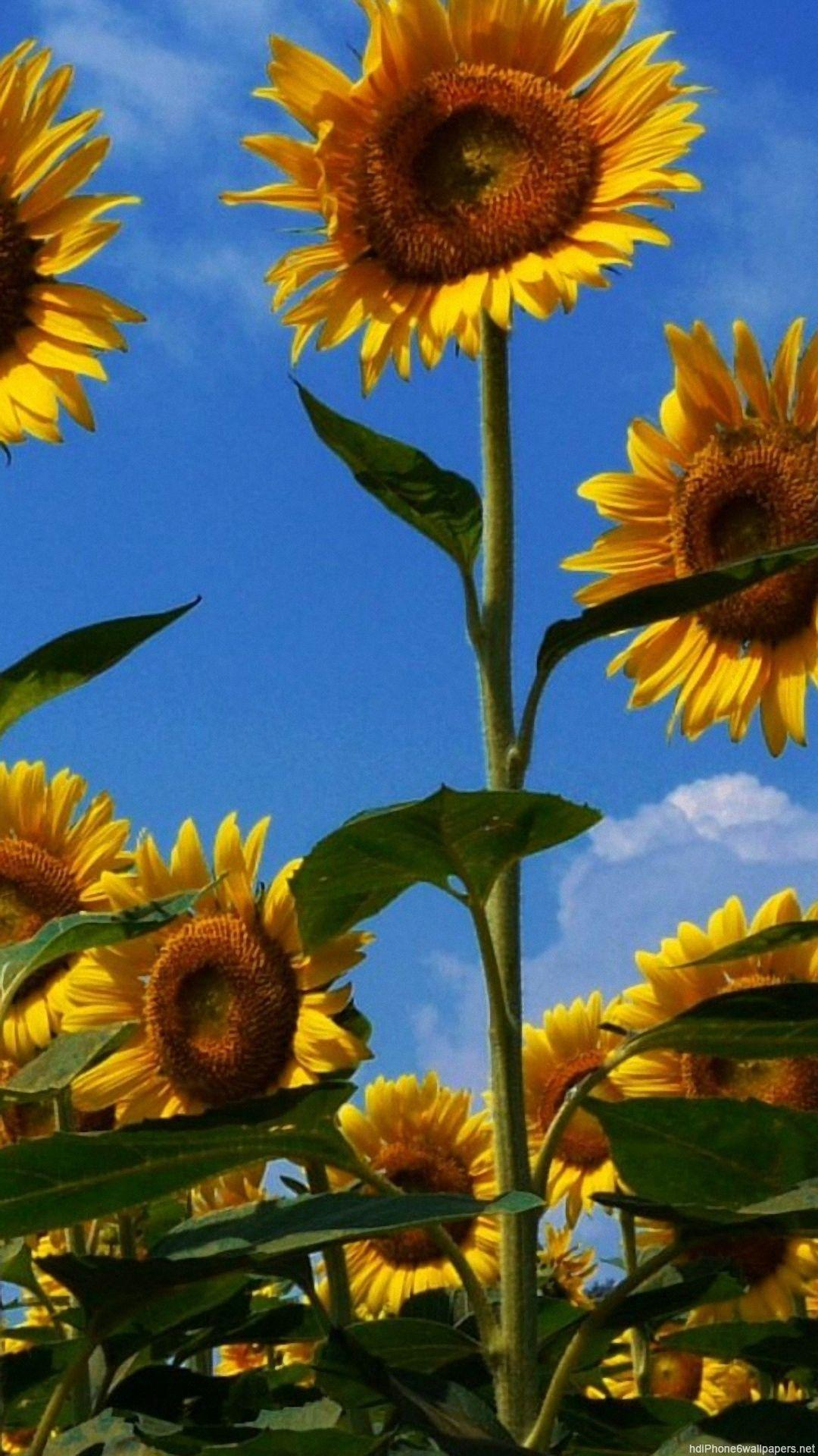 Sunflower iPhone Wallpapers - Wallpaper Cave