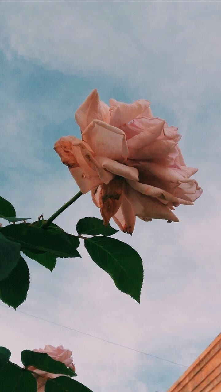 Rose Aesthetic Wallpapers Wallpaper Cave