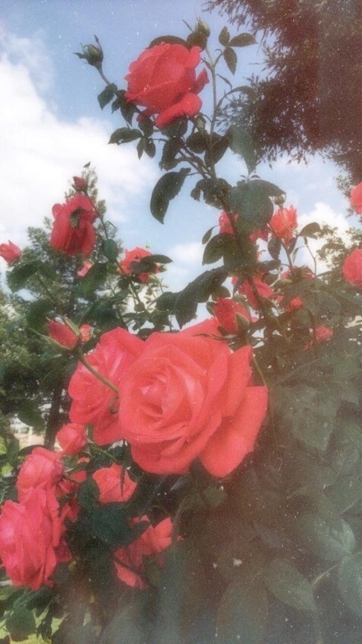 Rose Aesthetic Wallpapers - Wallpaper Cave