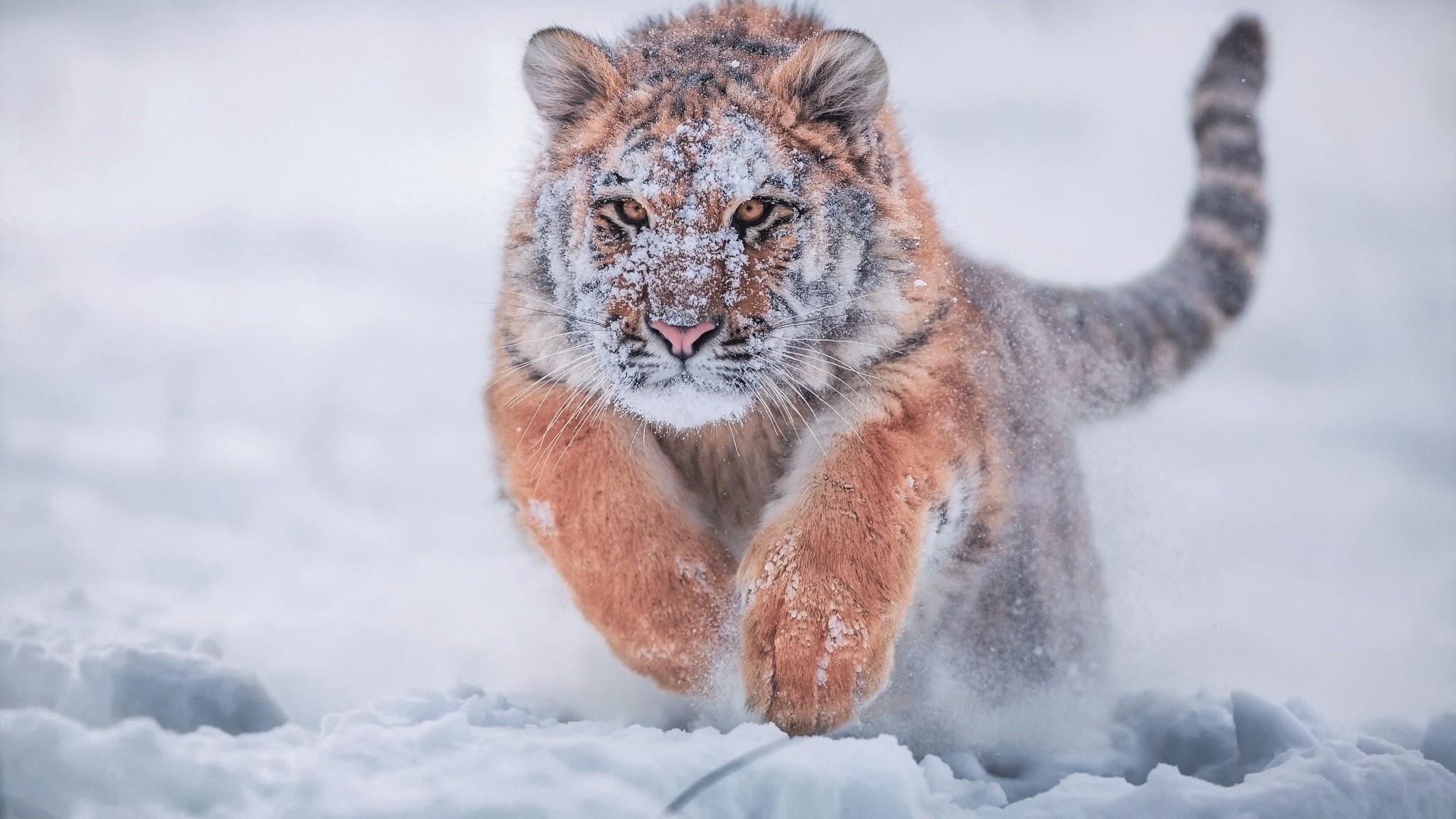Siberian Tiger 4k Wallpapers Wallpaper Cave