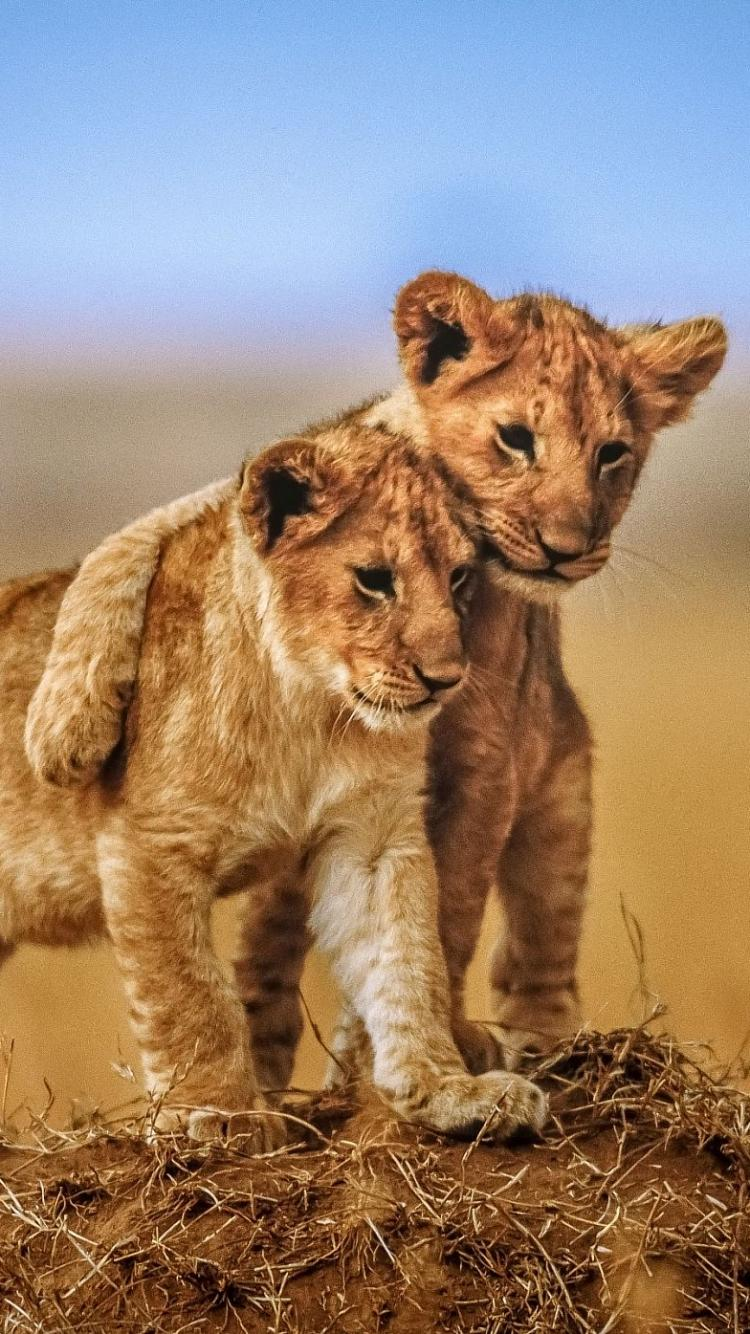 Baby Lion Wallpapers - Wallpaper Cave