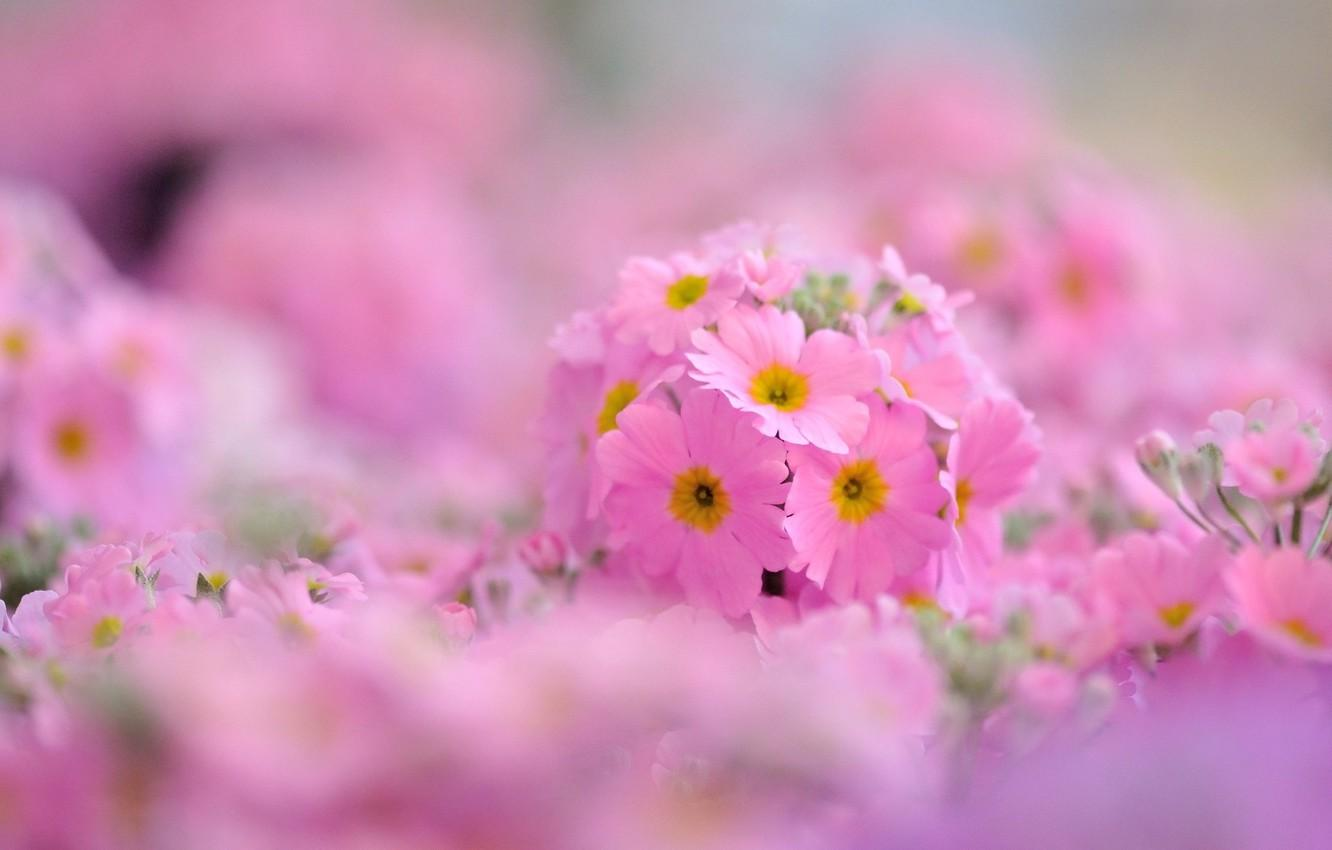 Wallpapers macro, flowers, background, pink, widescreen