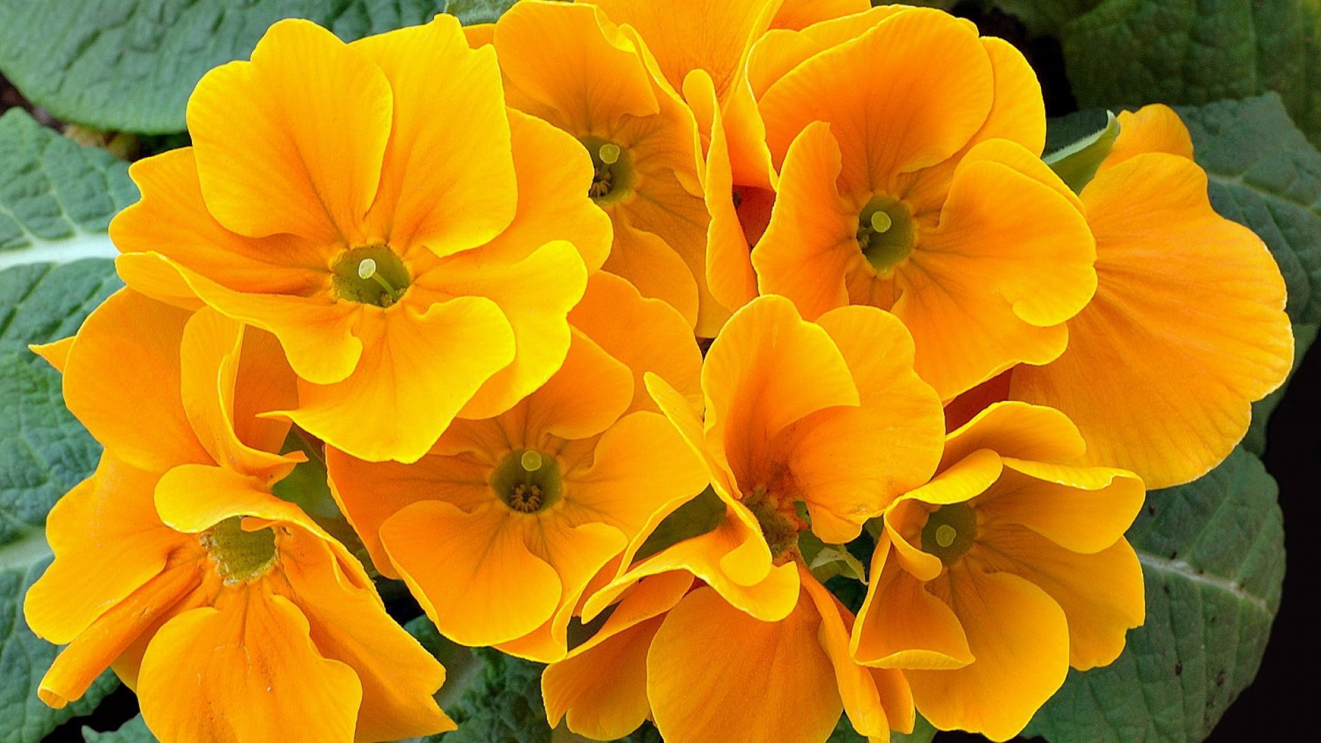 Primrose Flowers Wallpapers