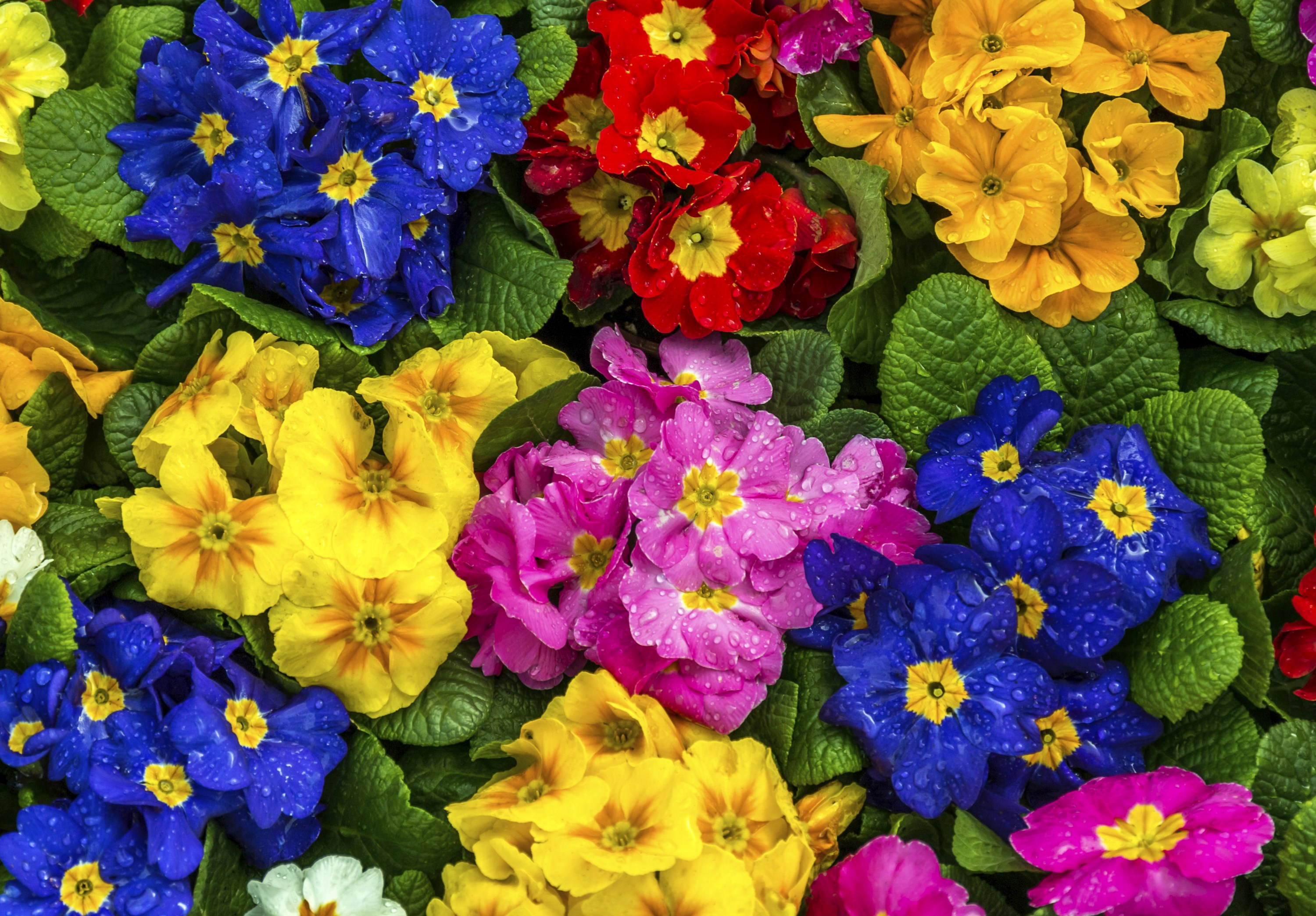 1394933 hd wallpapers primula