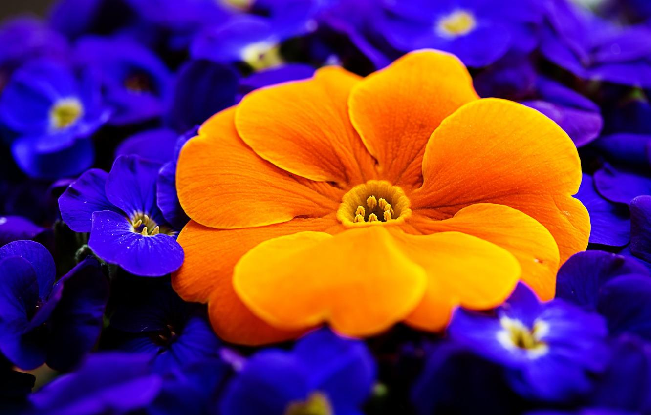 Wallpapers macro, orange, primrose, Primula image for