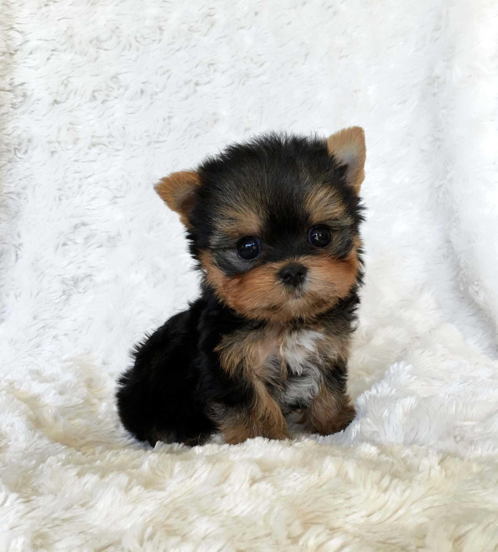 Teacup Dogs Wallpapers Wallpaper Cave