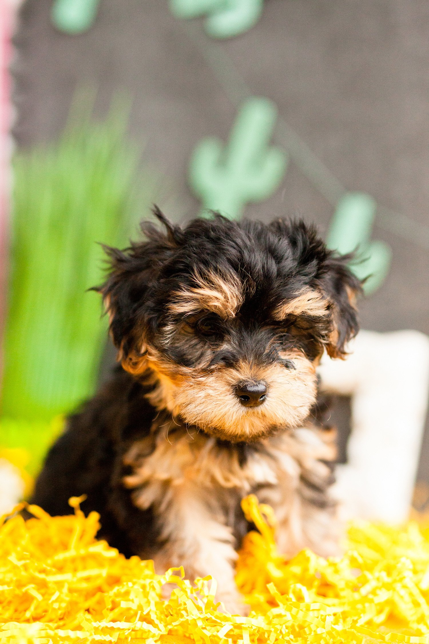 Yorkie Poodle Wallpapers Wallpaper Cave