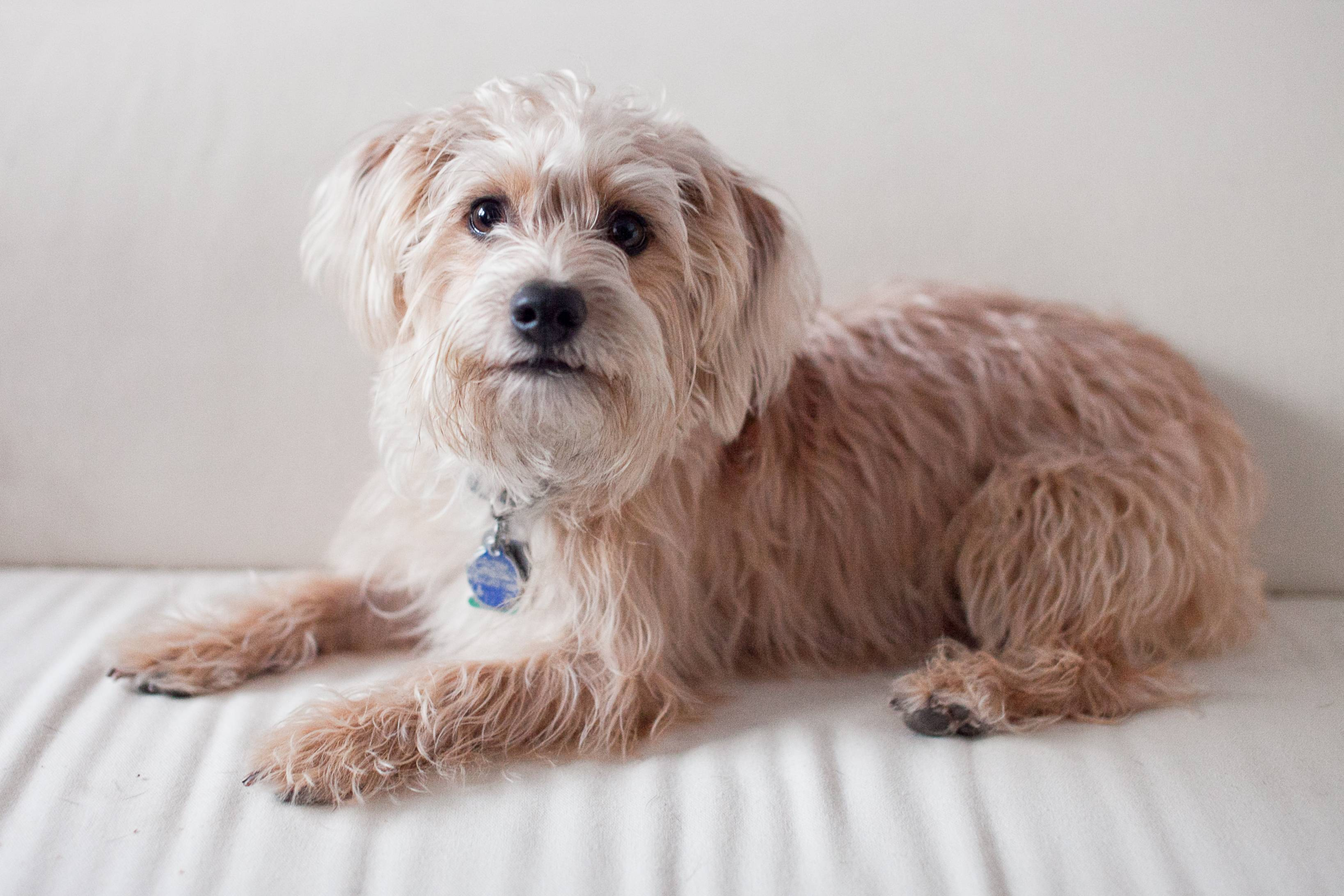 Yorkie-Poo Guide - Breed Temperament & Health | Canna-Pet  |Yorkie Poodle