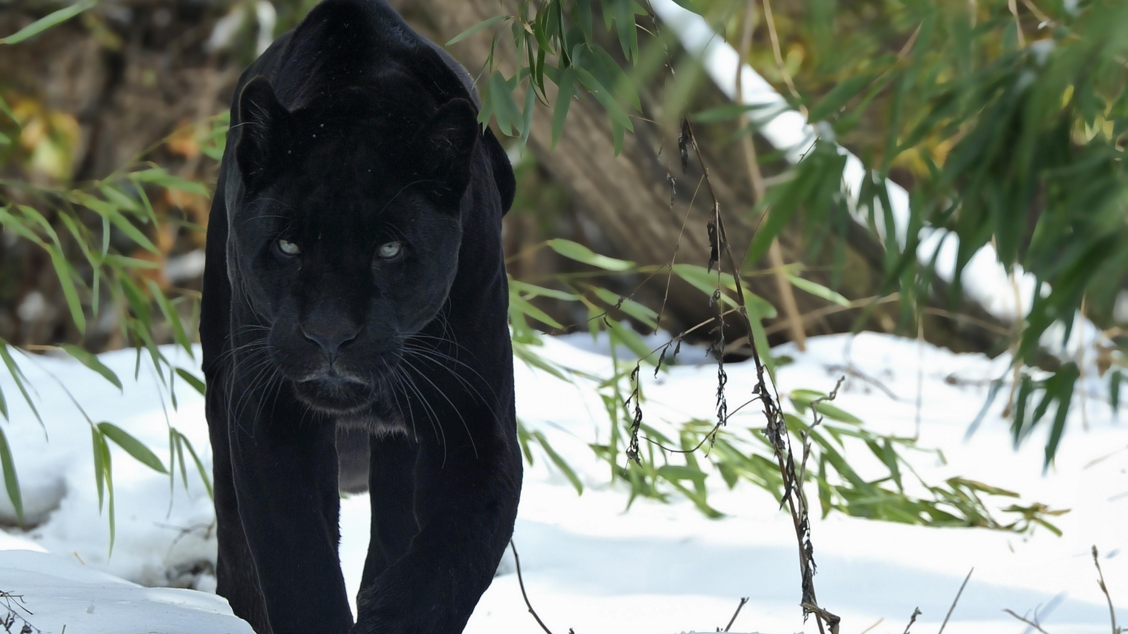 Black Panthers Wallpapers - Wallpaper Cave