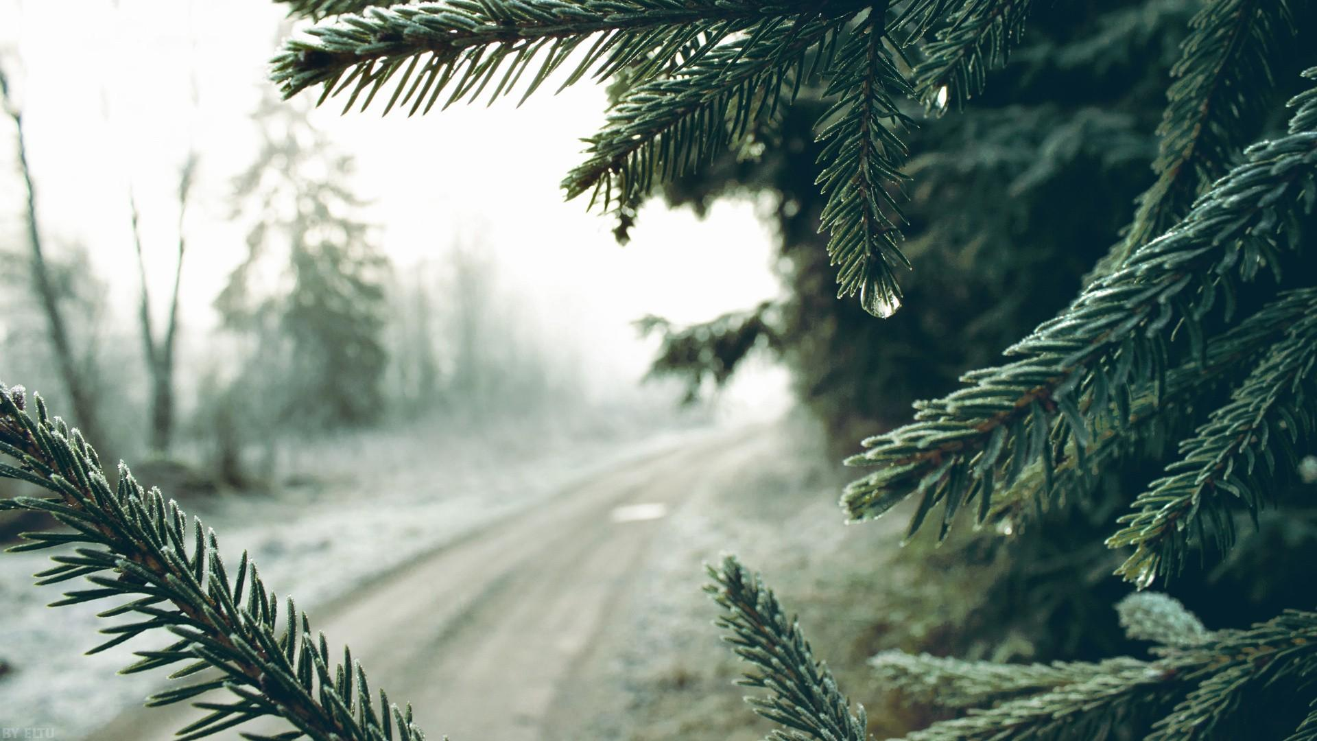 depth of field, spruce, macro, trees, winter, nature