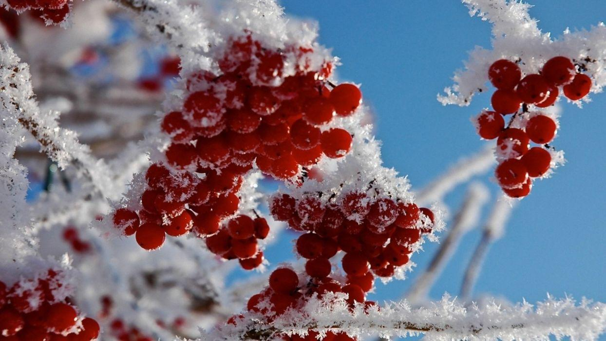 Winter frost red berries snow twig branch macro wallpapers