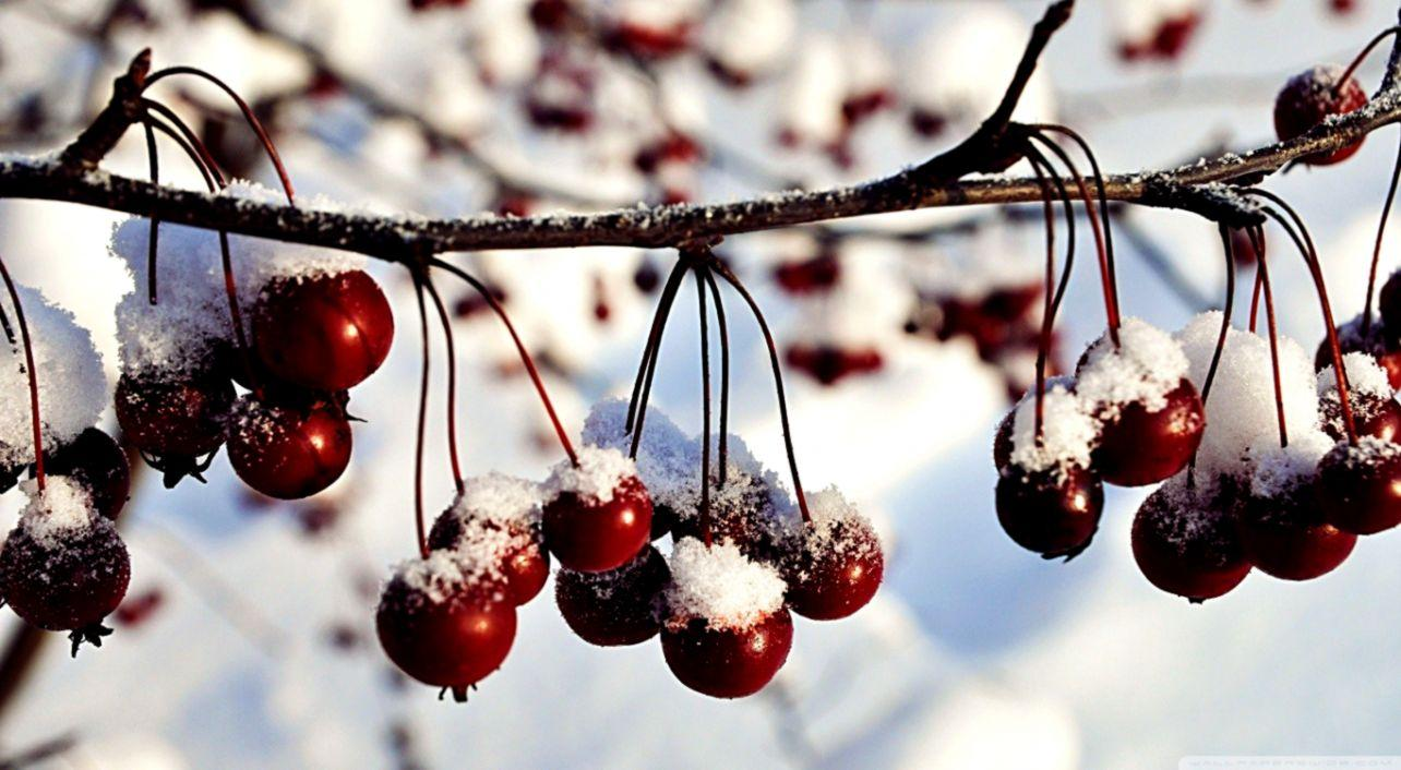 Frozen Red Berries Winter Nature Hd Wallpapers