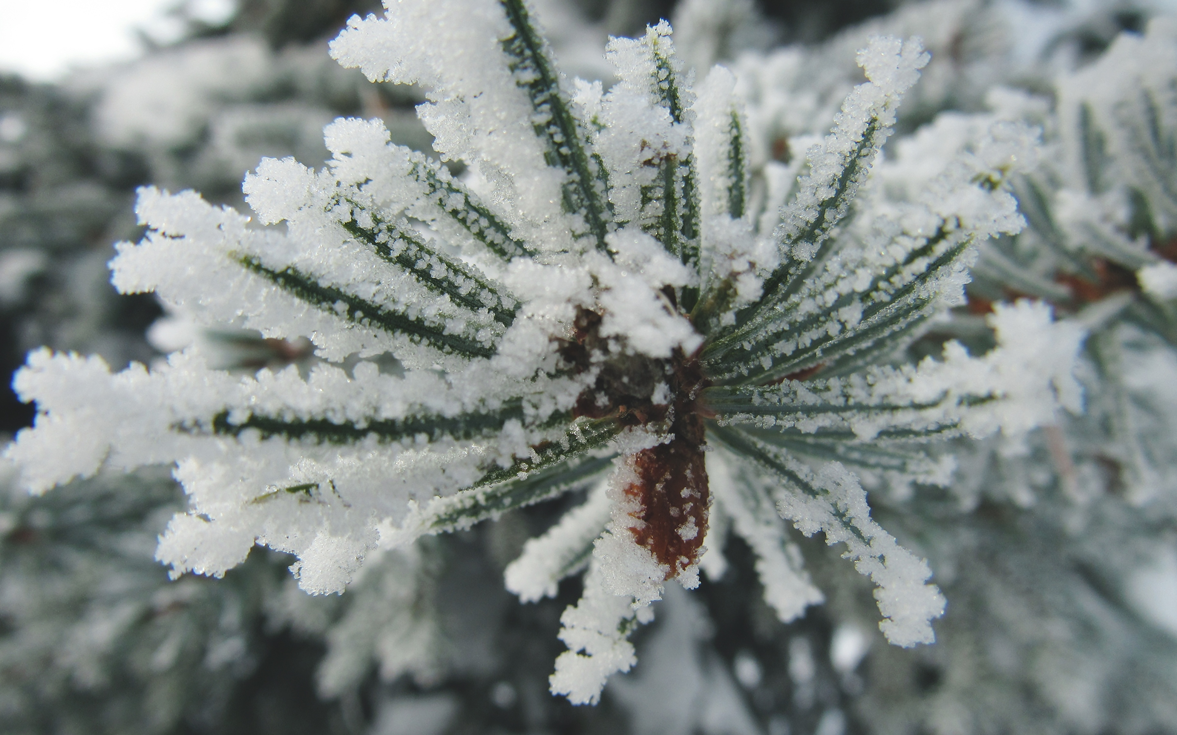 Desktop Wallpapers Nature Spruce Snow Macro photography