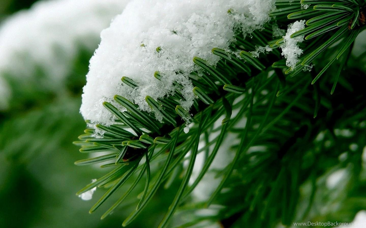 Beautiful Winter On Spruce Macro Wallpapers Hig Desktop