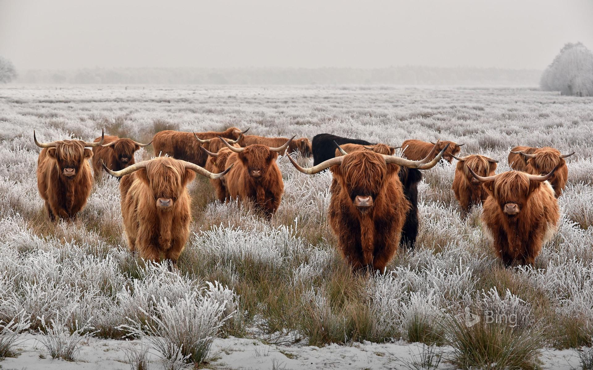 Highland Cow Wallpapers Wallpaper Cave