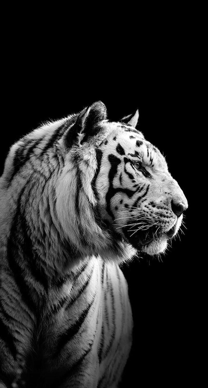 Black And White Tigers Wallpapers Wallpaper Cave