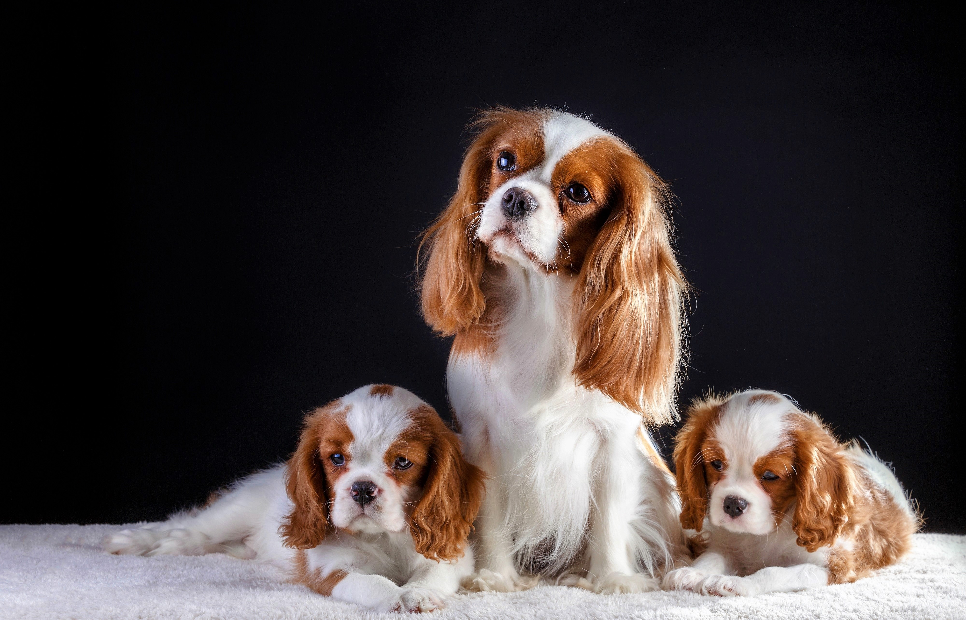 Cavalier King Charles Spaniel Wallpapers Wallpaper Cave