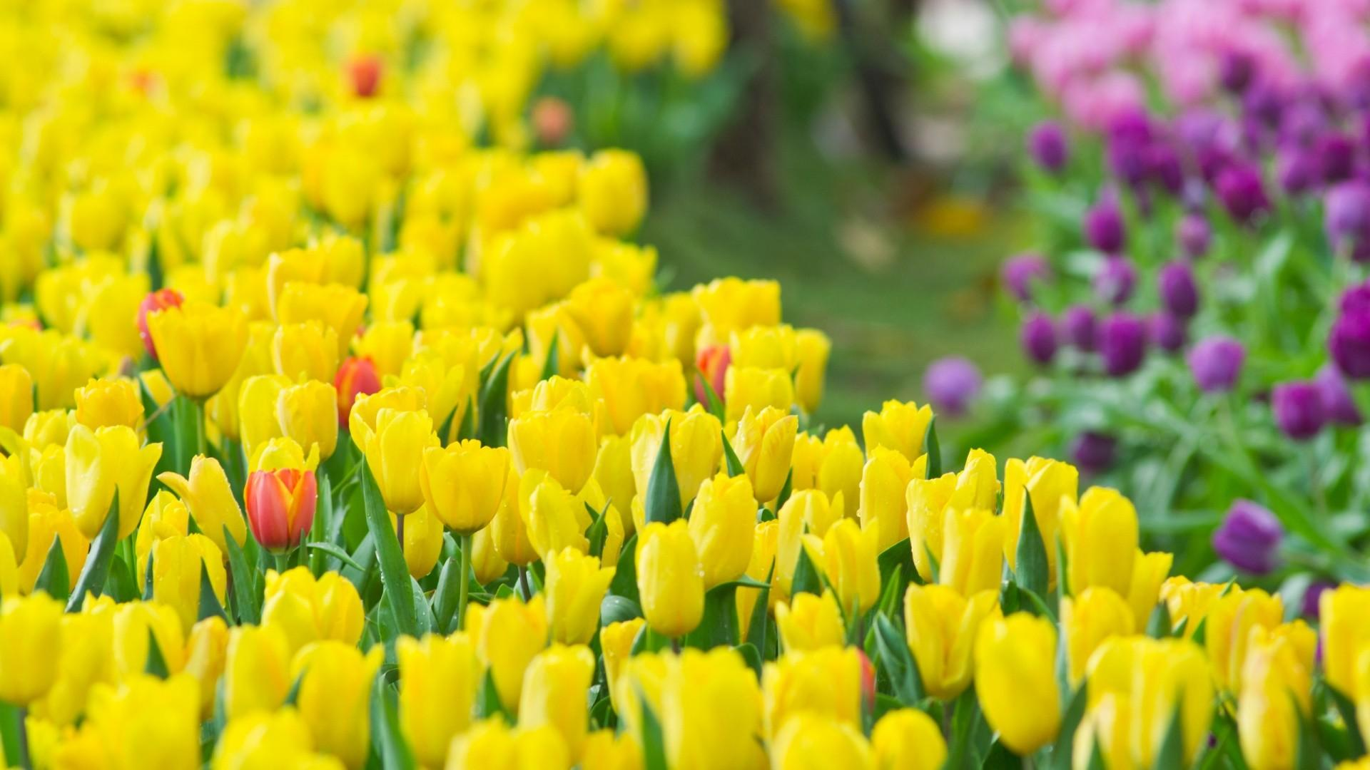 Tulips Flowers Wallpapers Wallpaper Cave